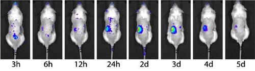 Anhand der Regenbogen-Farbskala wird die Aktivierung der NF-kB über die Zeit deutlich. Nach 2-3 Tagen ist das Maximum erreicht, dann bildet sich das Nierenversagen zurück. © Dr. L. Markó