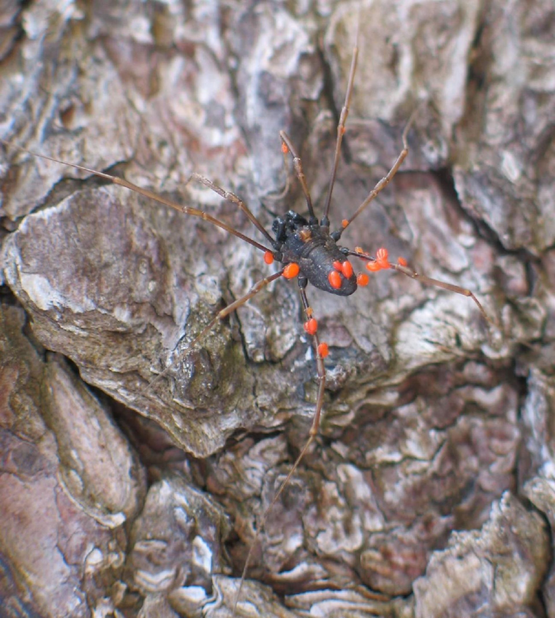 Harvestman suffering from mite pest