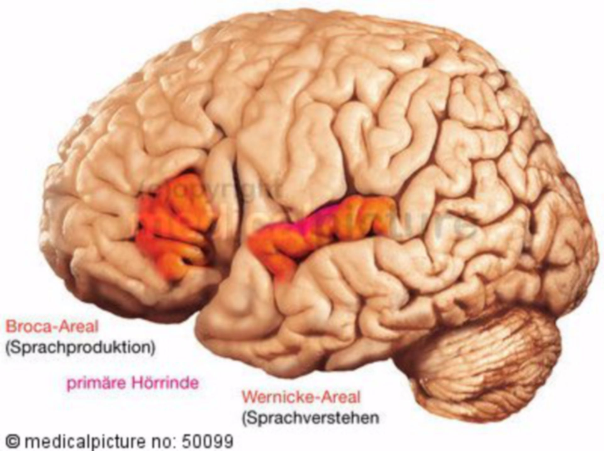 Speech centers of the brain