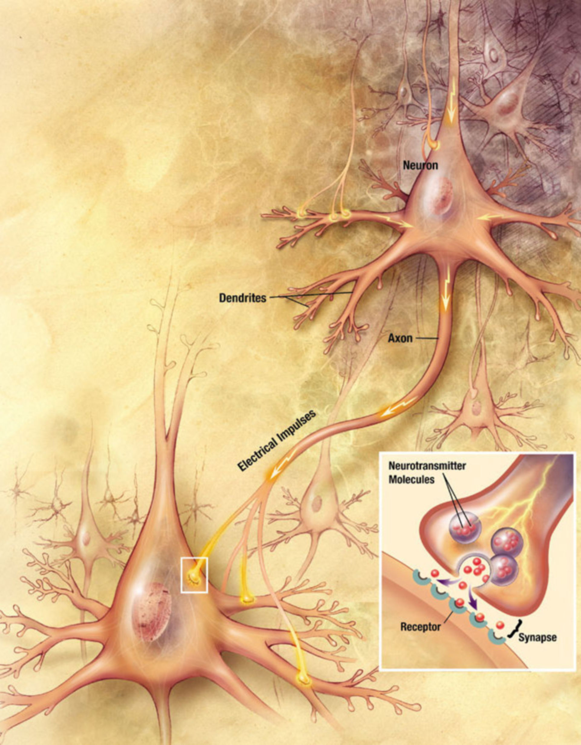 Synaptic transmission in neurons