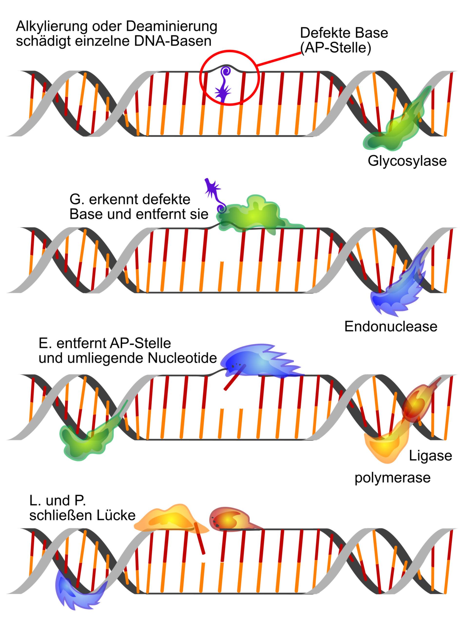 DNA-Reparatur (Schema)