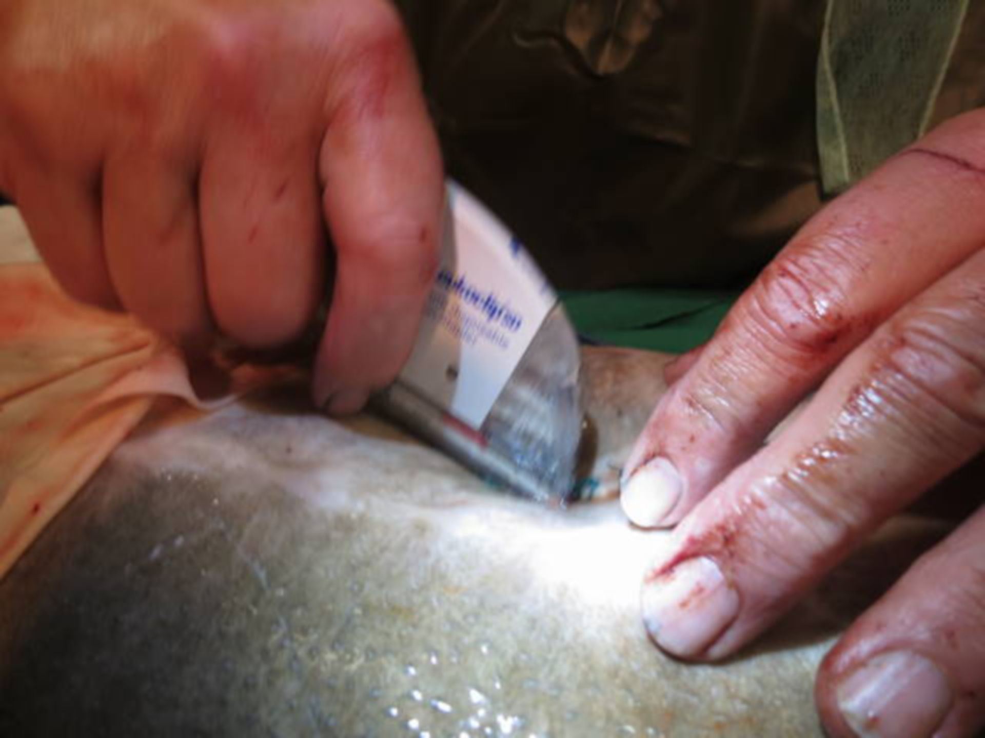 Forgein body removal surgery in a sturgeon (14)