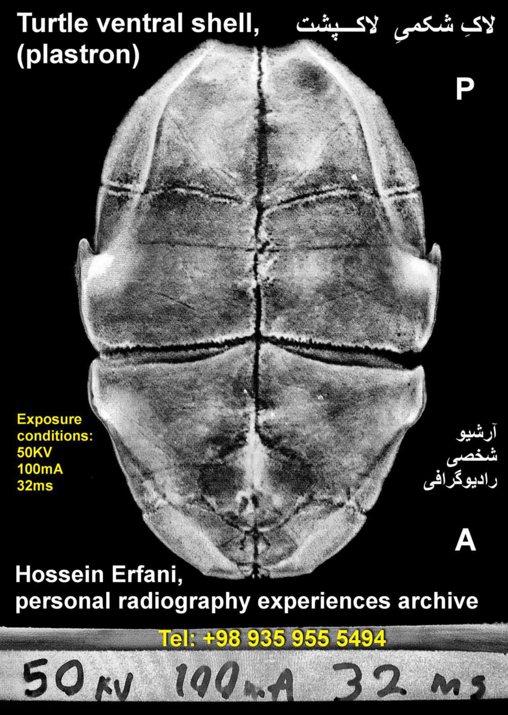 Turtle isolated ventral shell (plastron) radiography;  personal radiography experience