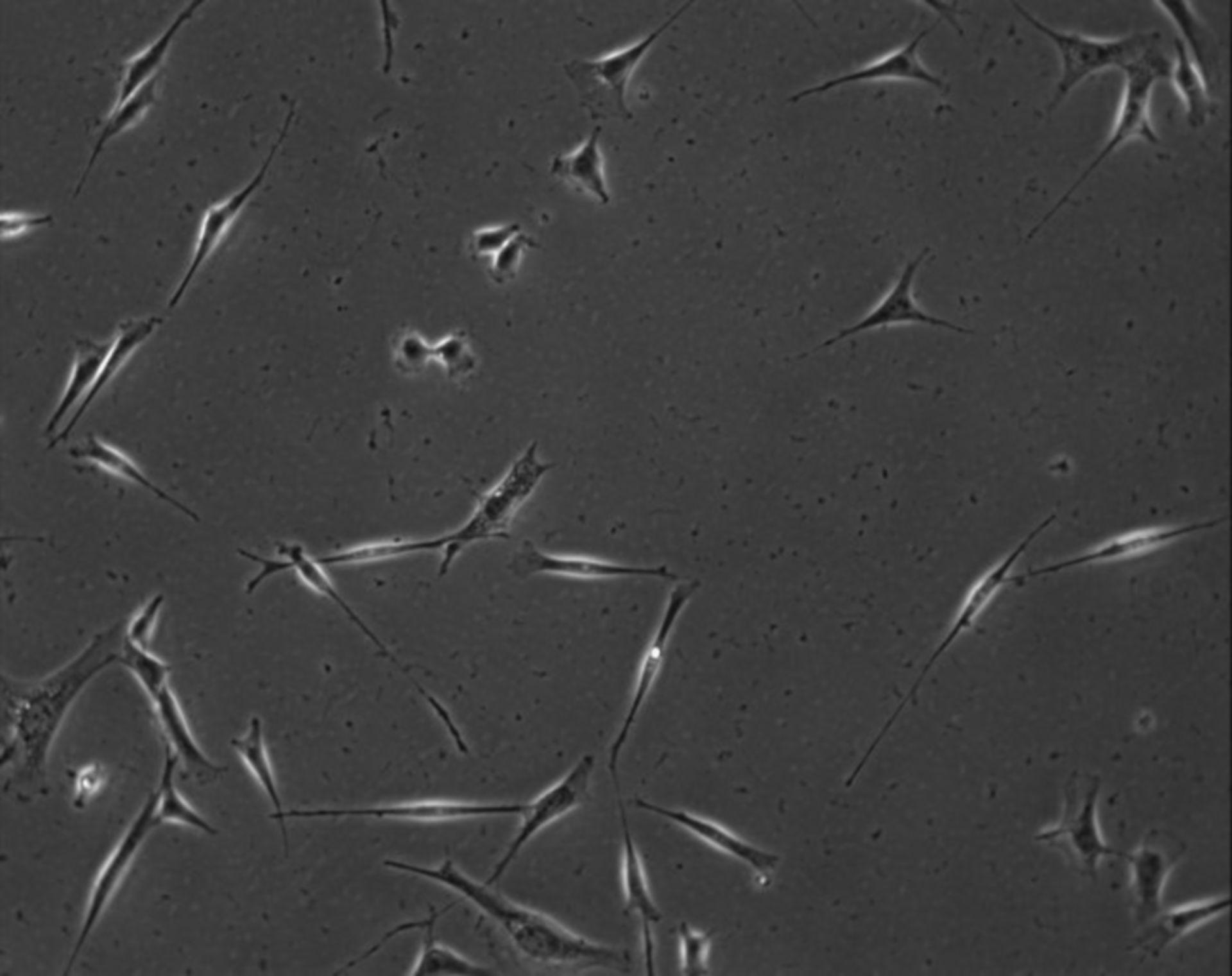 Mus musculus (Extracellular matrix part) - CIL:7899