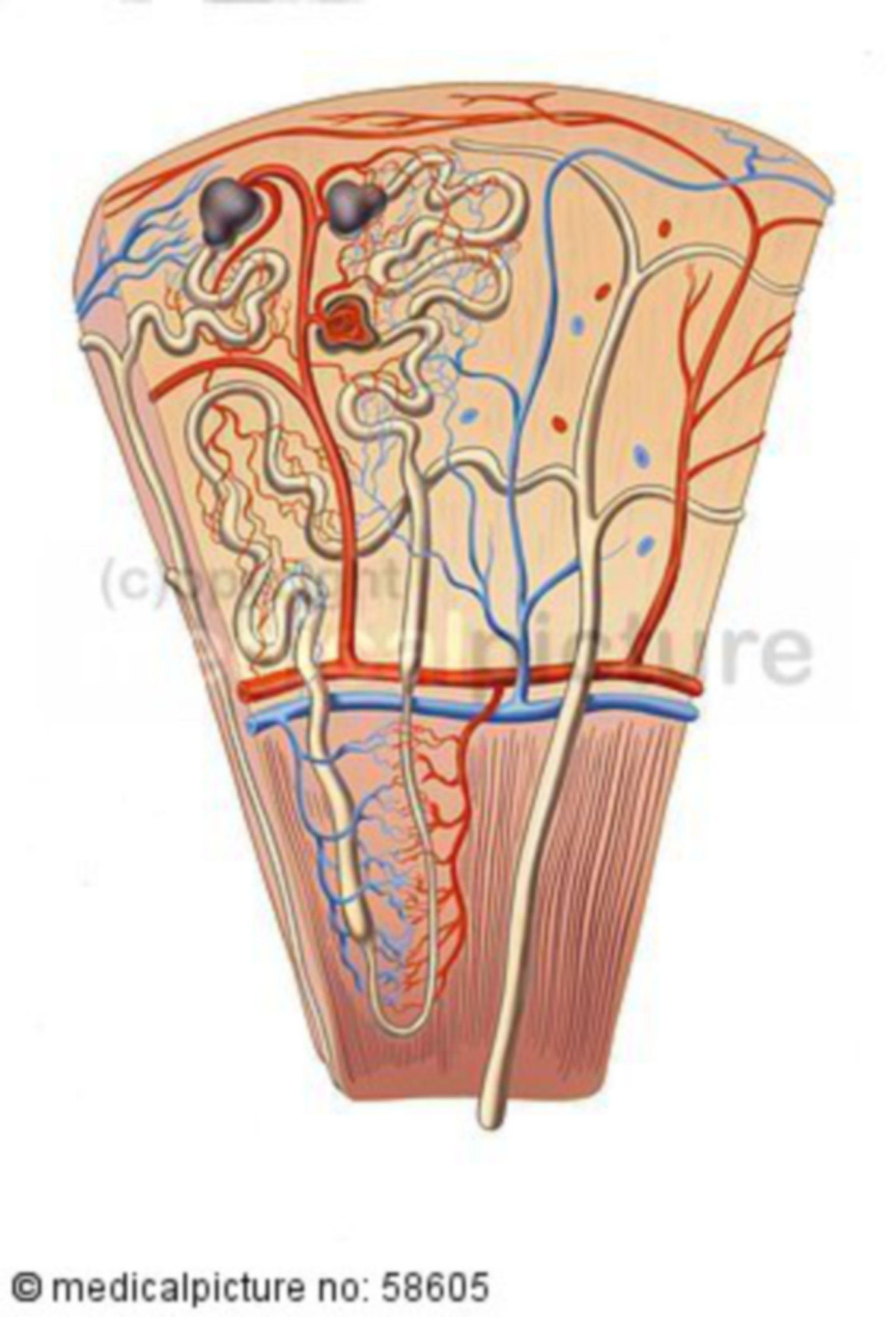Nierenrinde mit Nierenkörperchen