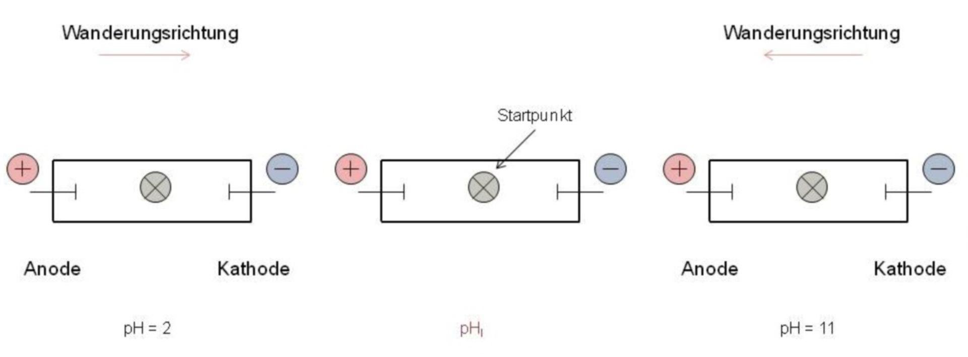 Il principio di carta elettroforesi per glicina