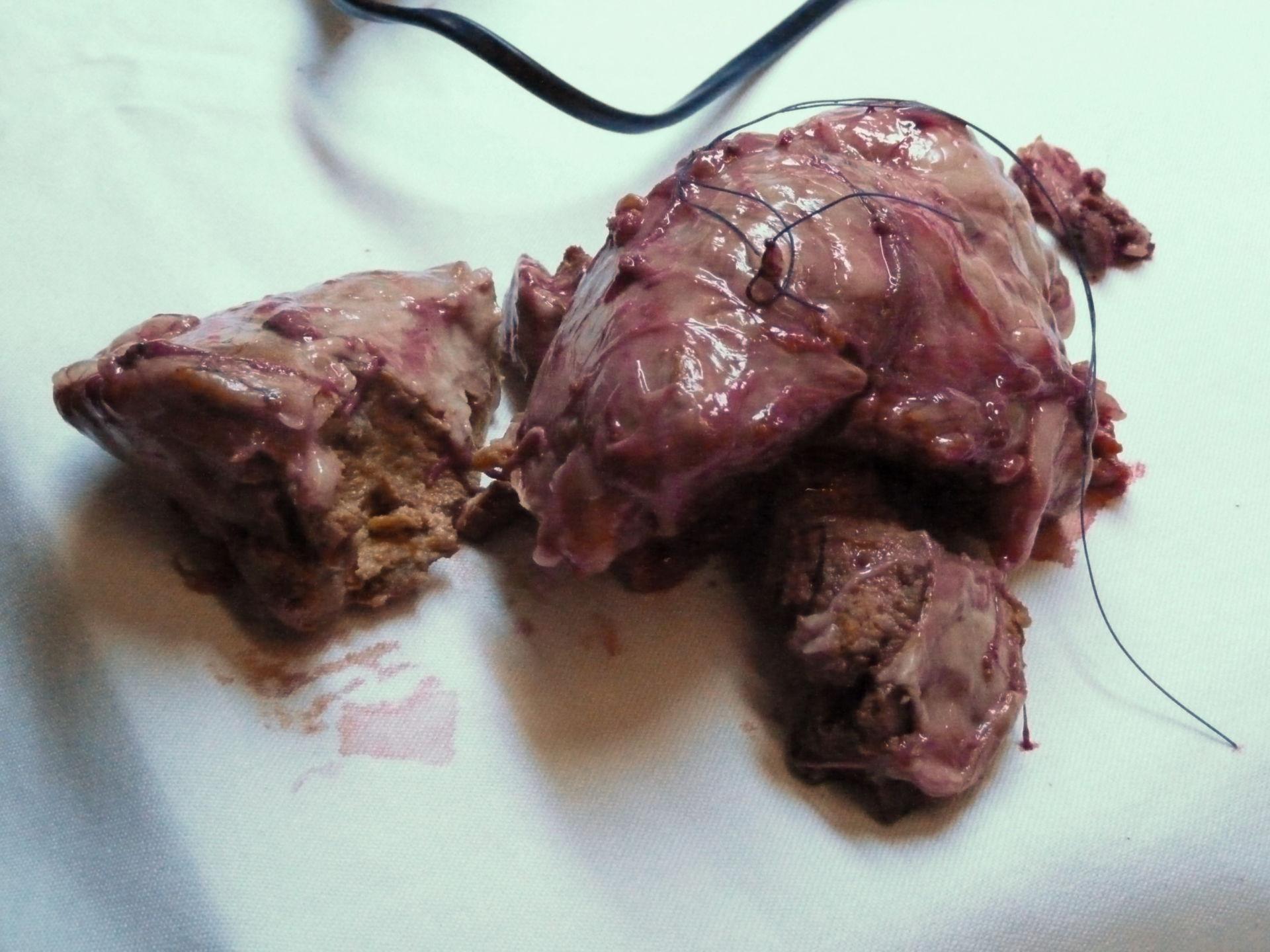 Tumor of Yacare Caiman