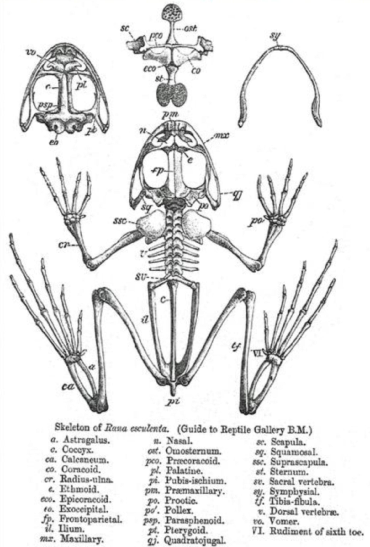 Amphibien (Rana spec.), Anatomie