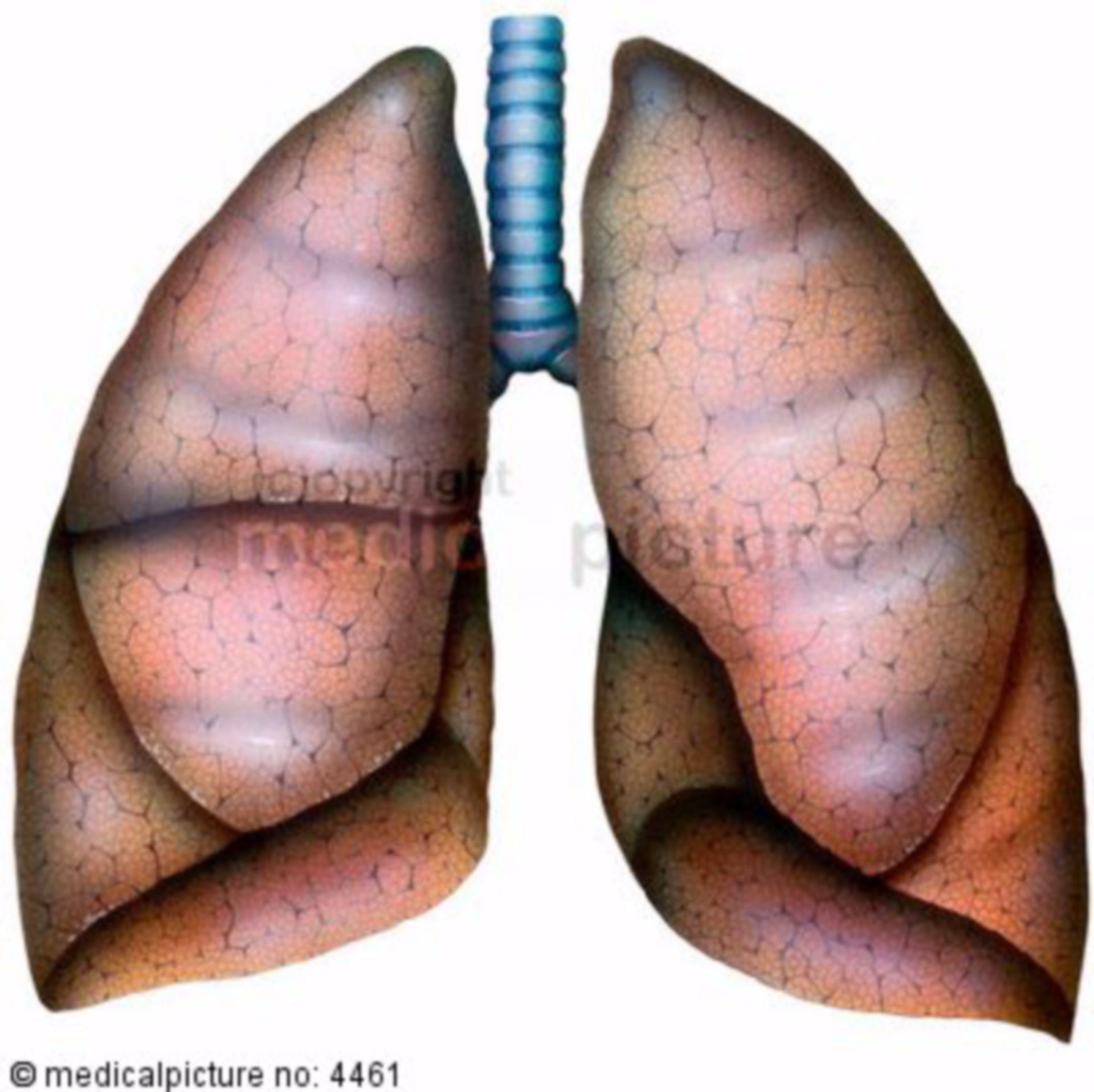 Segmenti del polmone