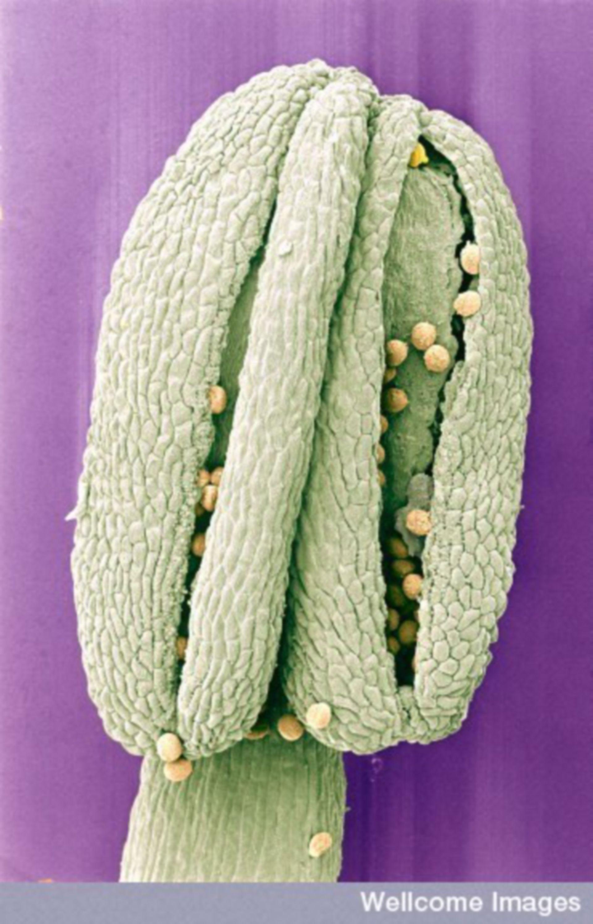 Micrografia elettronica a scansione: polline su fiore di erba cornacchia comune