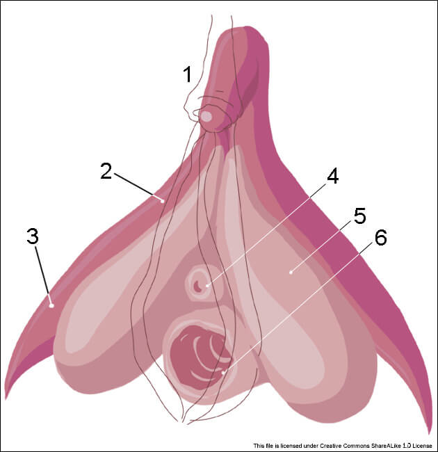 clitoris_inner_anatomy_numbers_original.jpg