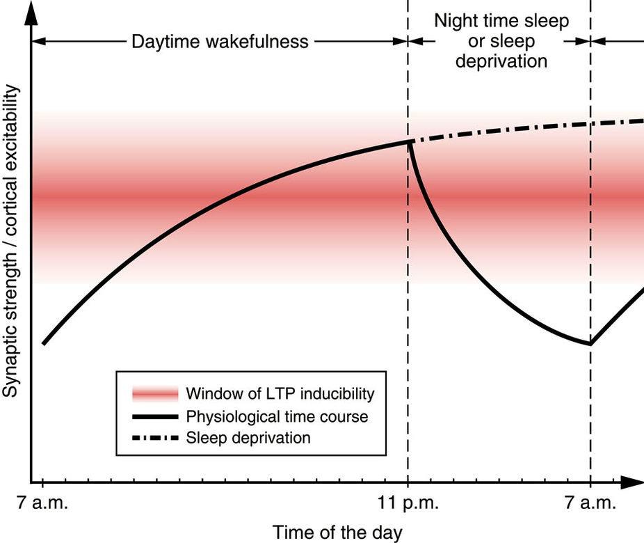 Im Tagesverlauf steigt Gehirnerregbarkeit an, um im Schlaf wieder zu fallen, bei Schlafentzug bleibt sie auf hohem Niveau, im roten Bereich funktioniert Informationsverarbeit ung am besten c C.Nissen