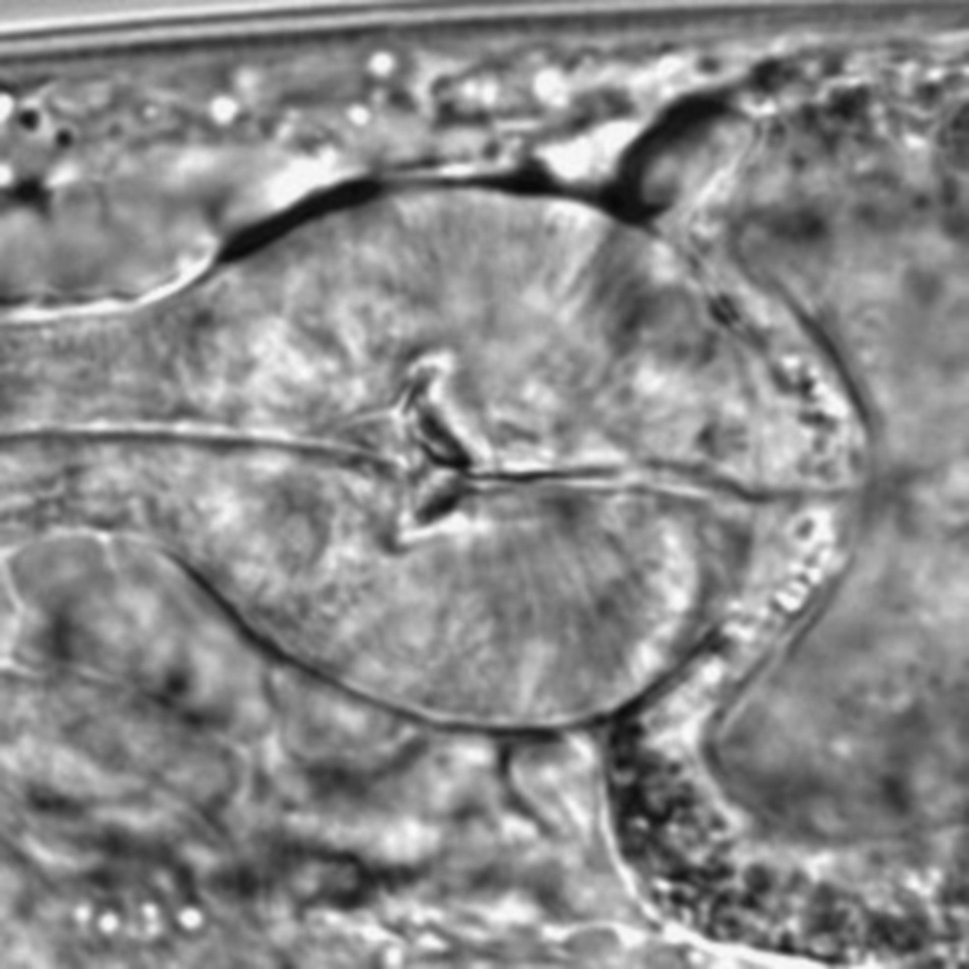 Caenorhabditis elegans - CIL:1621