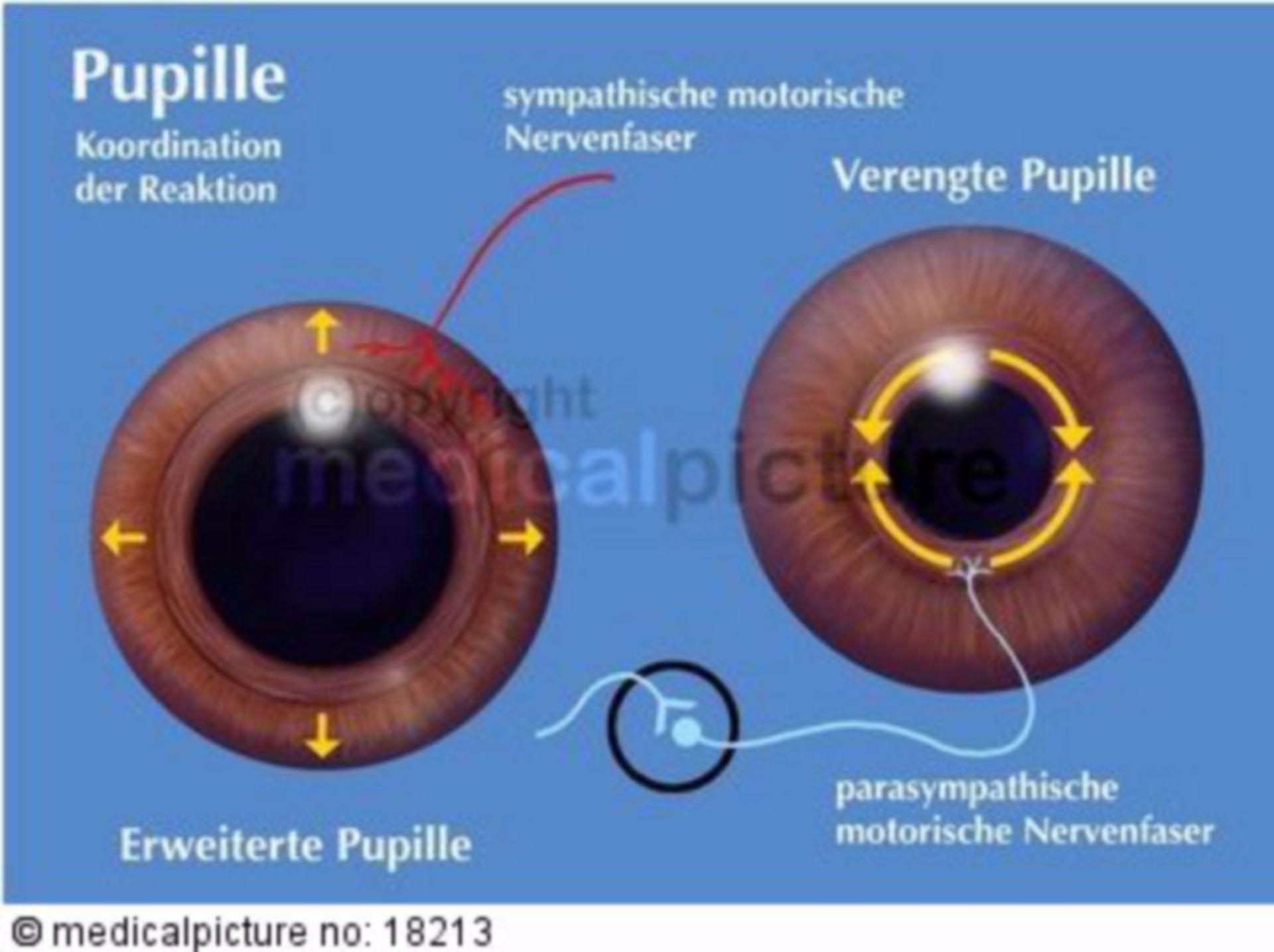 Pupille, Pupillenweitstellung, Pupillenengstellung