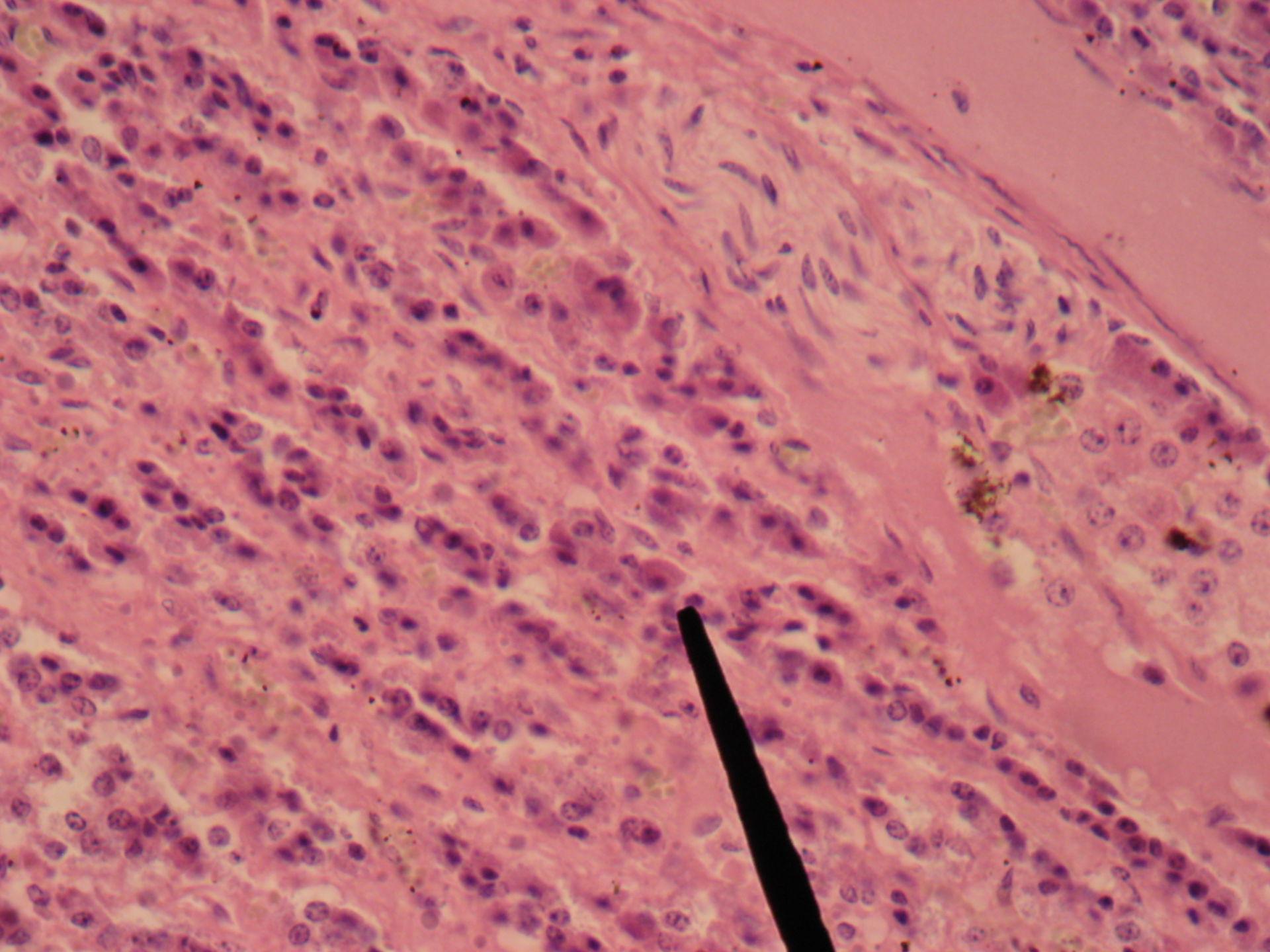 Nebenniere des Pferdes 5 - Mark und A-Zellen