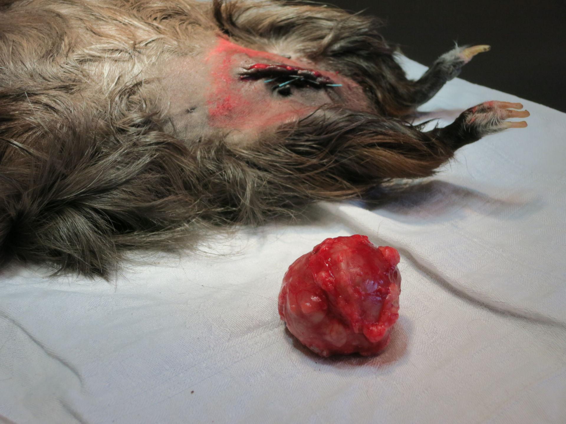 Mammal tumor of a guinea pig (5)