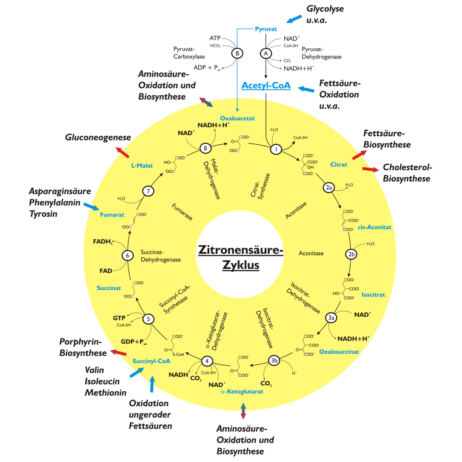 Citrate cycle (german)