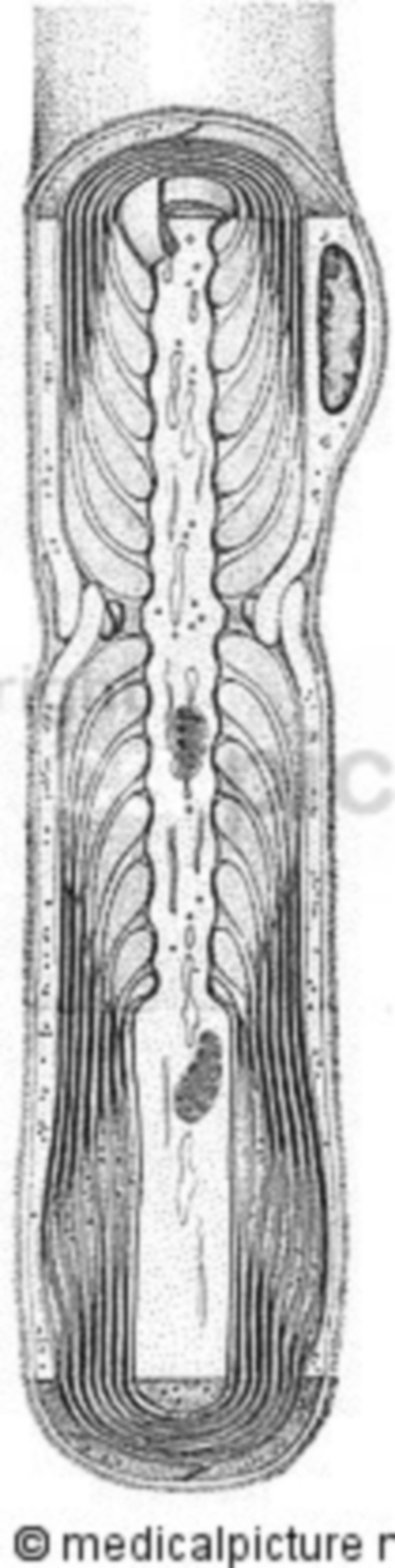 Nerve fiber with myelin sheaths