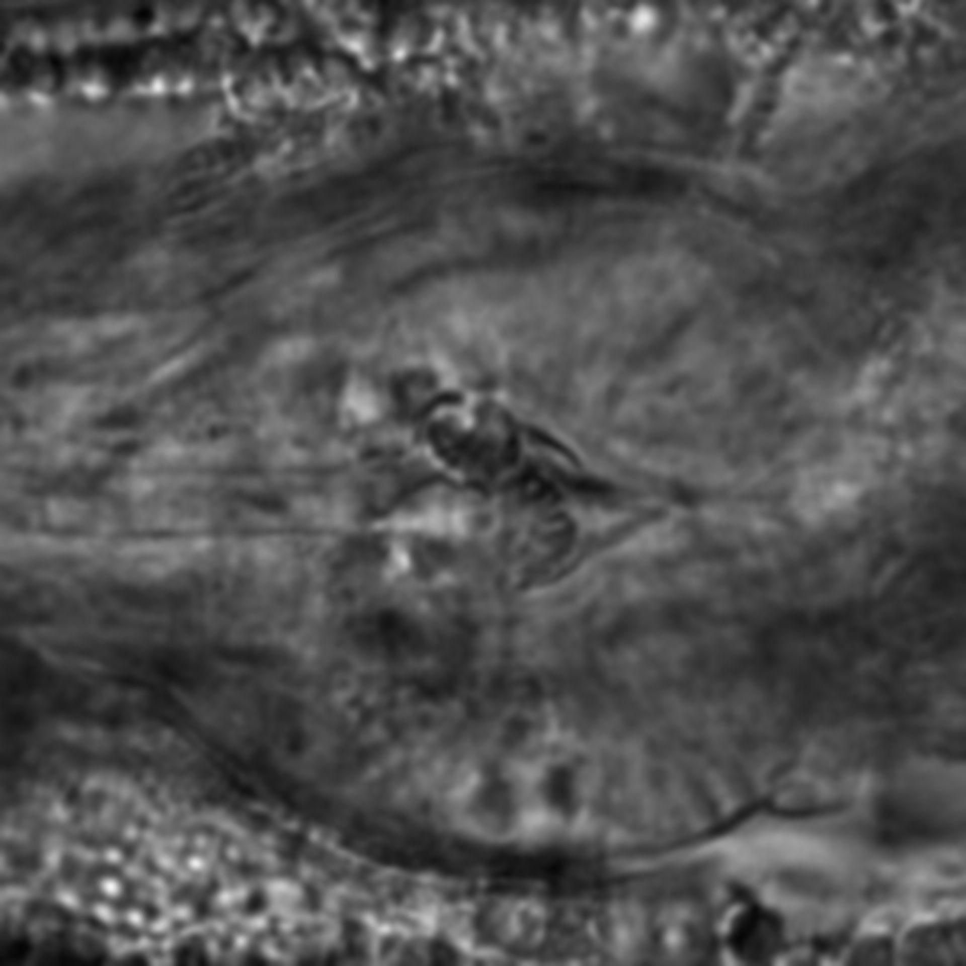 Caenorhabditis elegans - CIL:1943