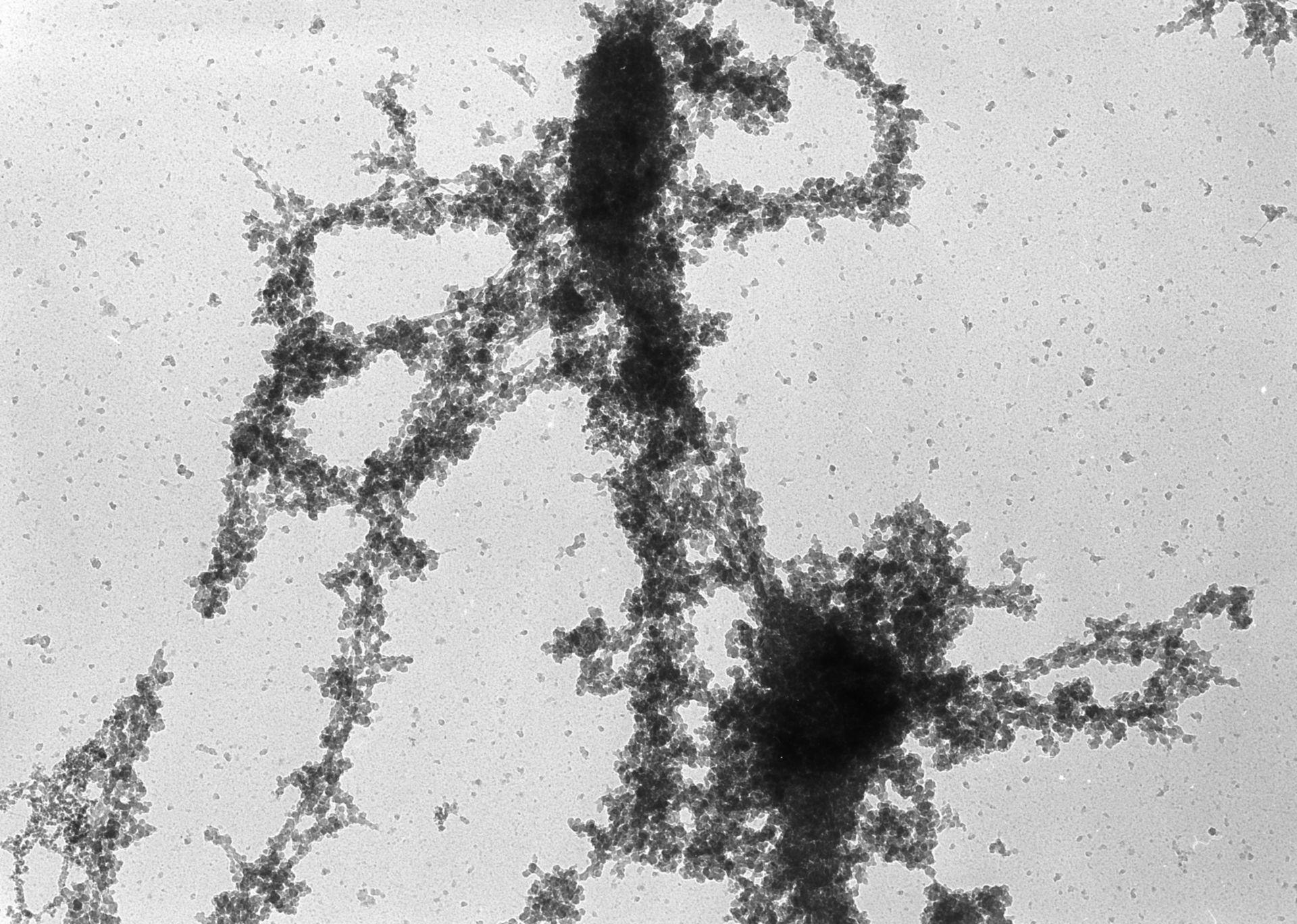 Notophthalmus viridescens (Lampbrush chromosomes) - CIL:10709