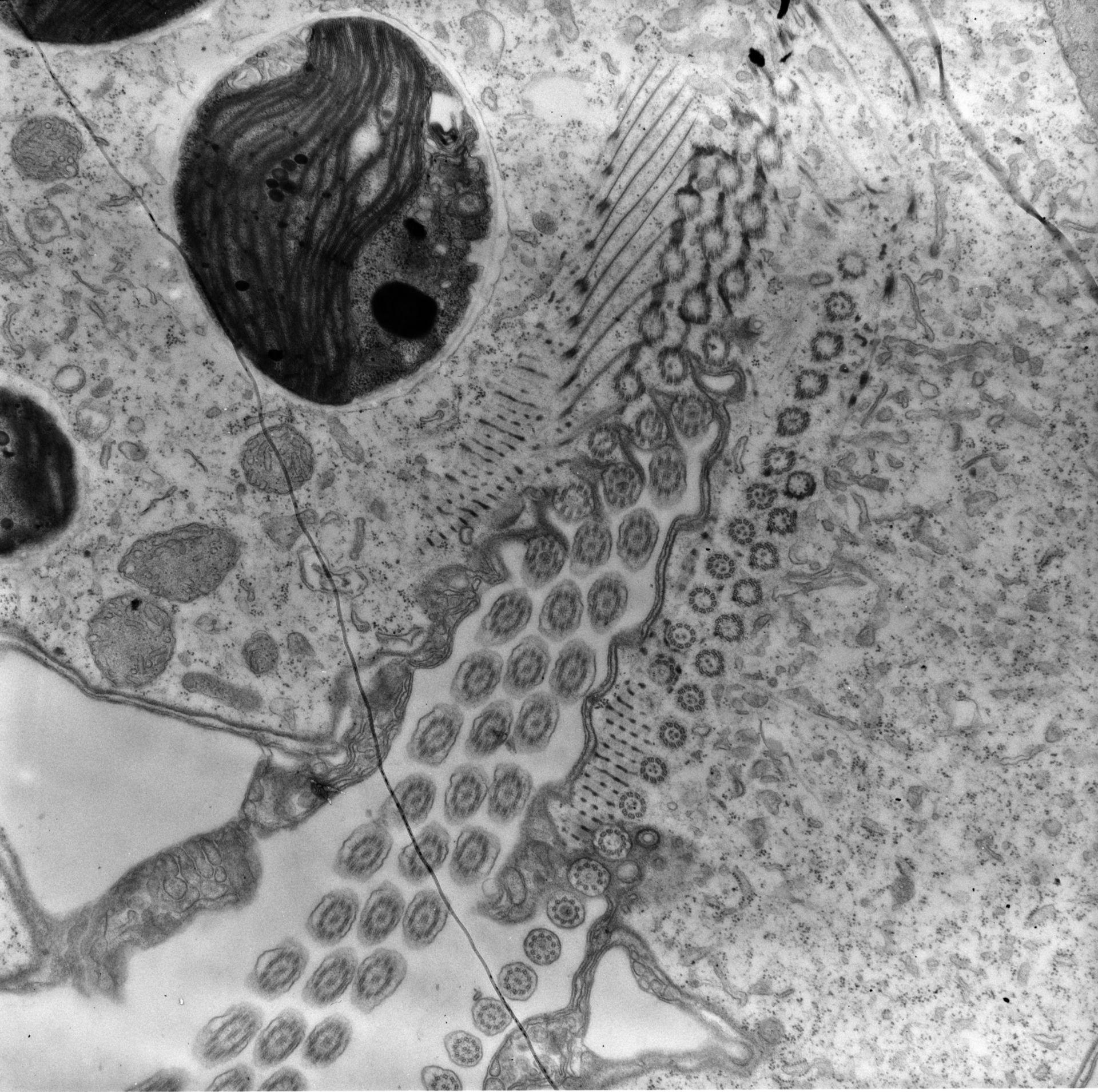 Chlorella (cilia) - CIL:25689