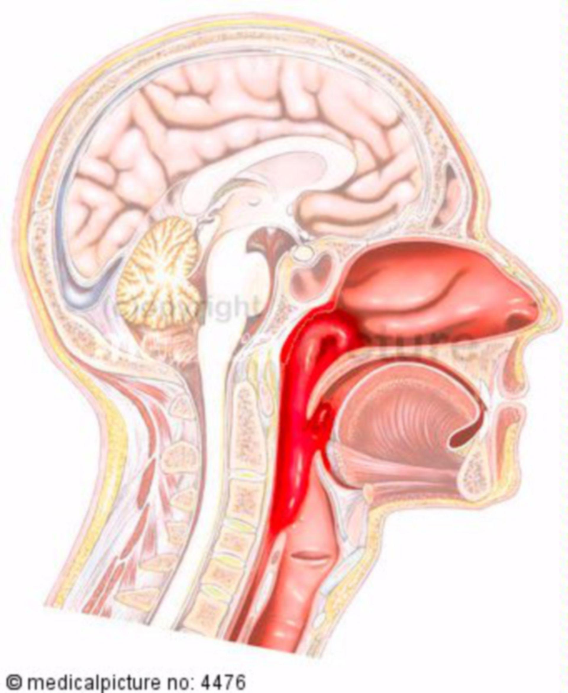 Sezione longitudinale della testa