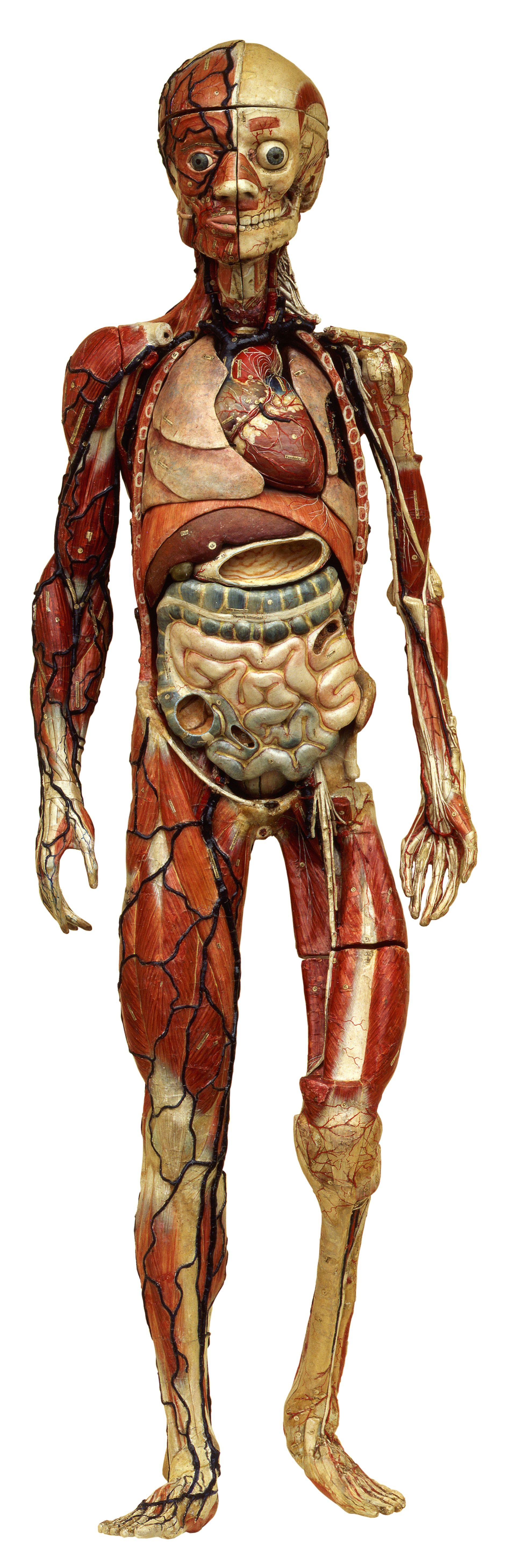 Anatomical model by L. T. J. Auzoux, 1865