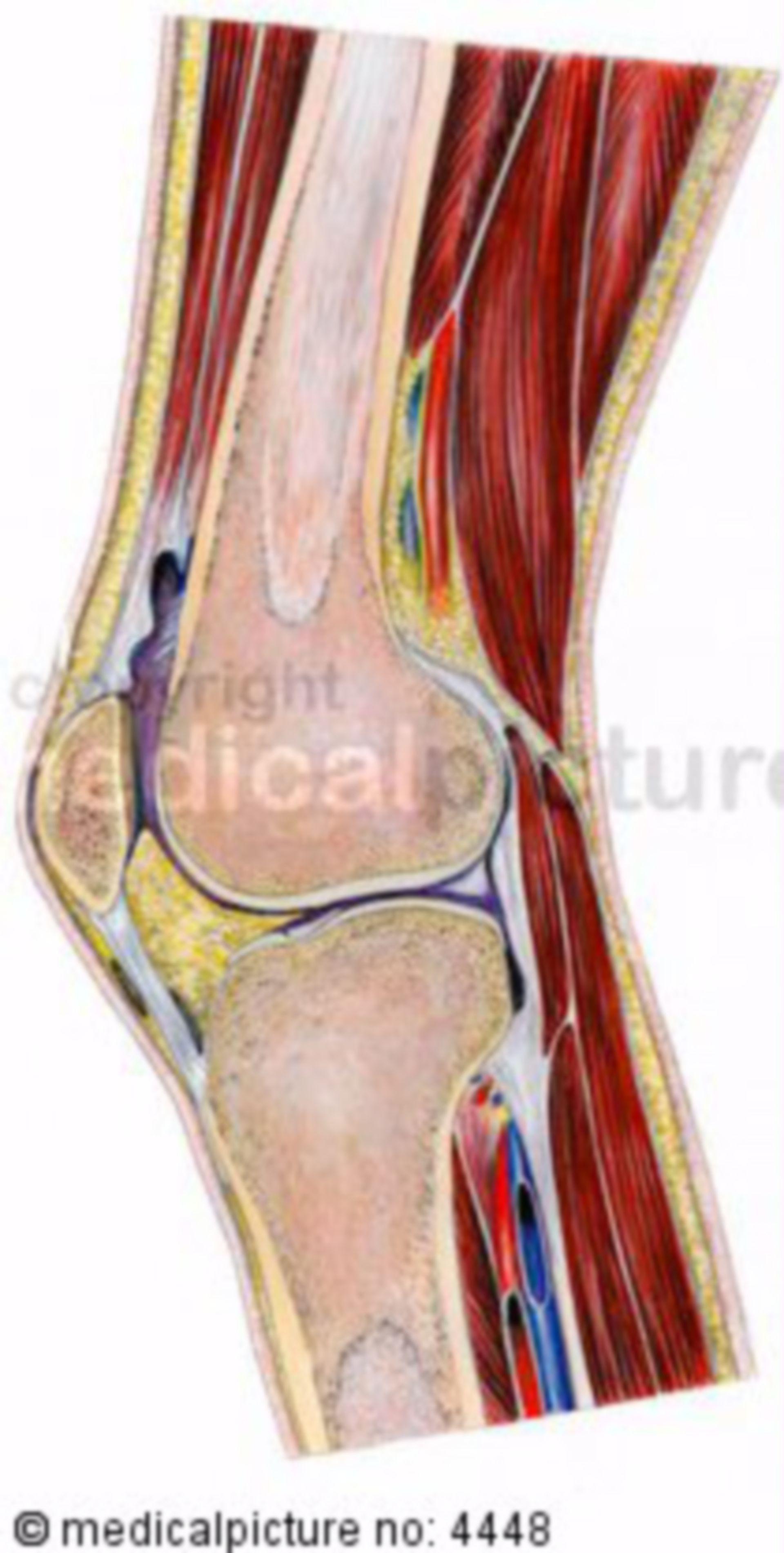 Sagittal sectionof the knee