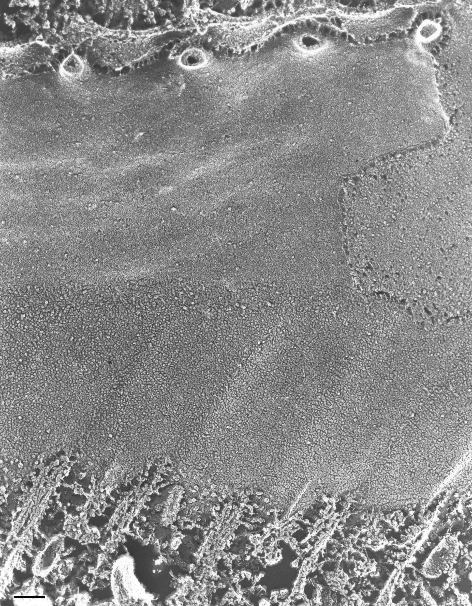 Paramecium multimicronucleatum (complesso associato ai microtuboli) - CIL:36701
