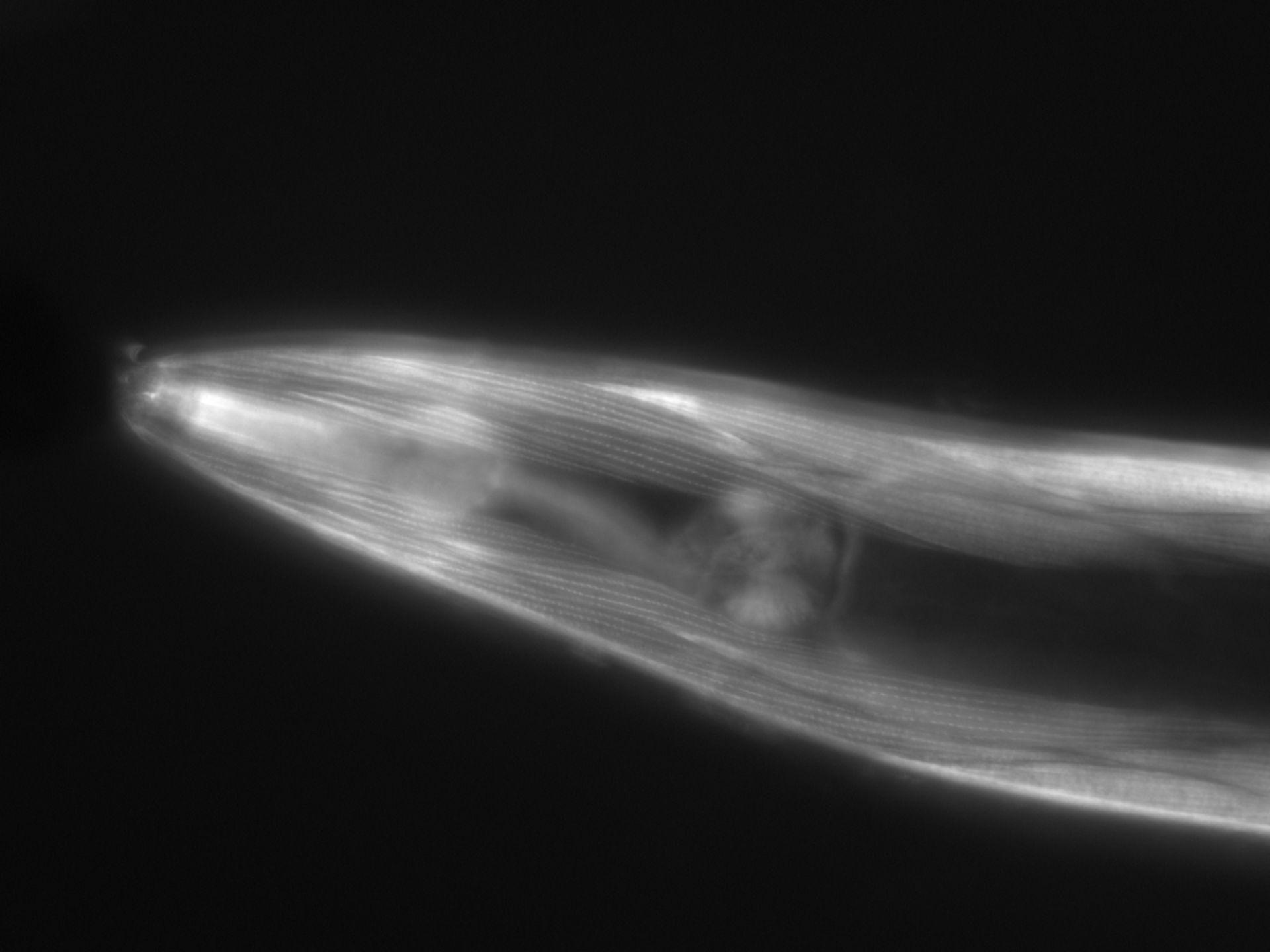 Caenorhabditis elegans (filamento di actina) - CIL:1057