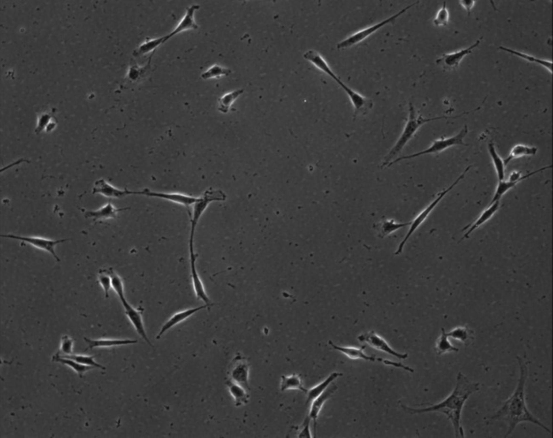 Mus musculus (Extracellular matrix part) - CIL:8844