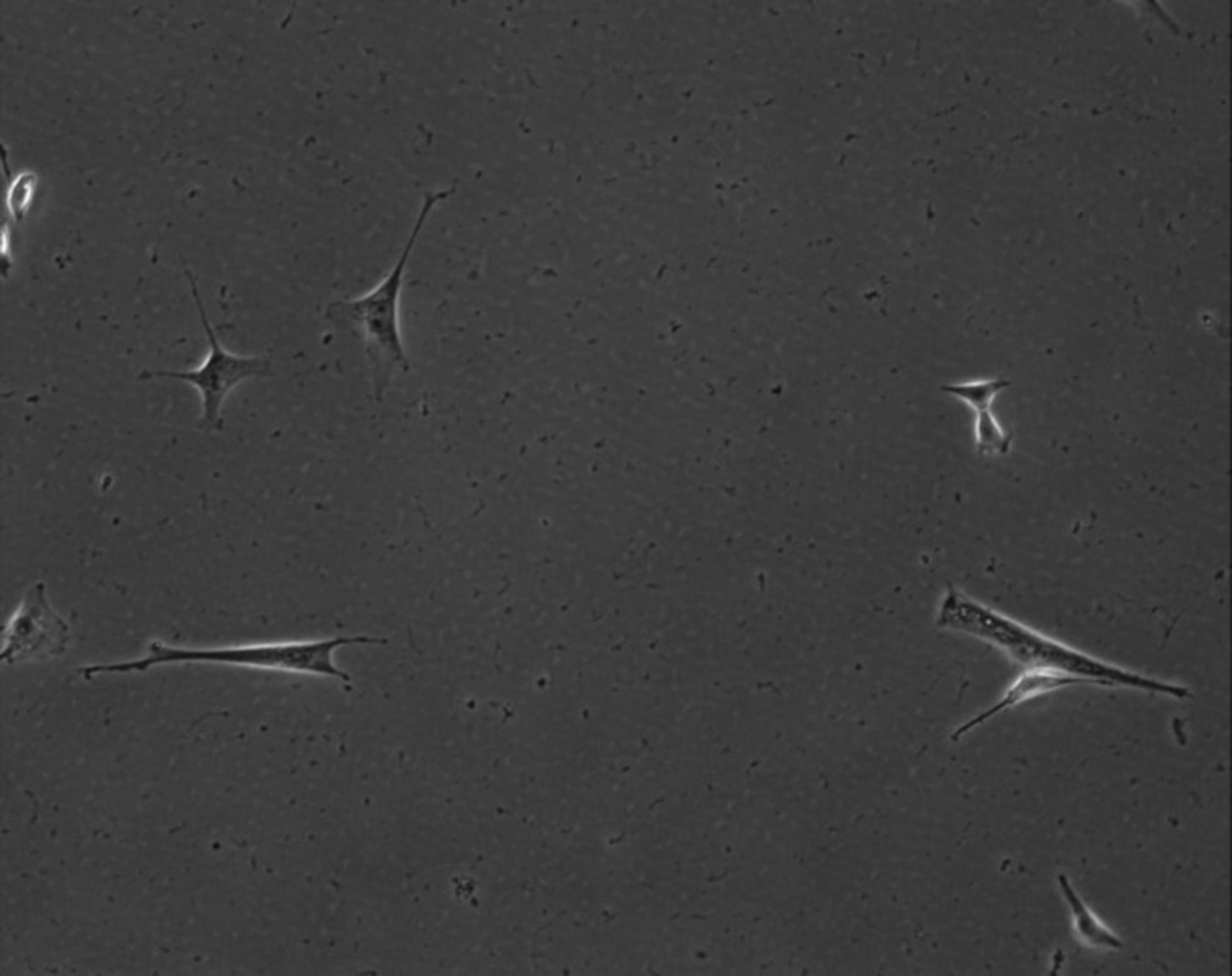 Mus musculus (Extracellular matrix part) - CIL:7909