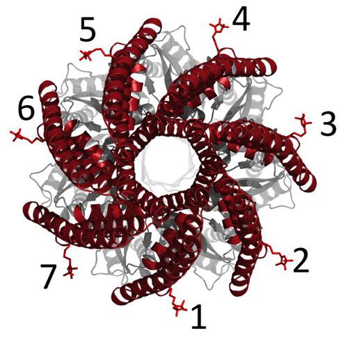 Die Pore wird von sieben gleichen Proteinen gebildet, die im Kreis angeordnet sind. Transmembranhelices, die wie ein gewundenes Telefonkabel aussehen, verschließen oder weiten das Loch. © Gregor Hagelüken/Uni Bonn