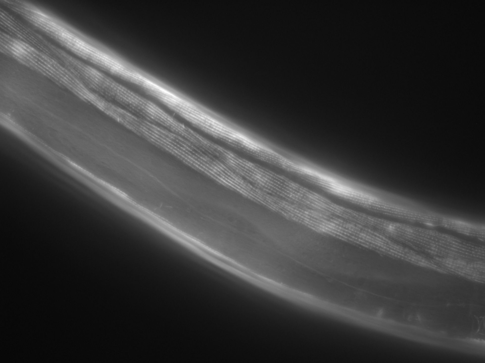 Caenorhabditis elegans (filamento di actina) - CIL:1046