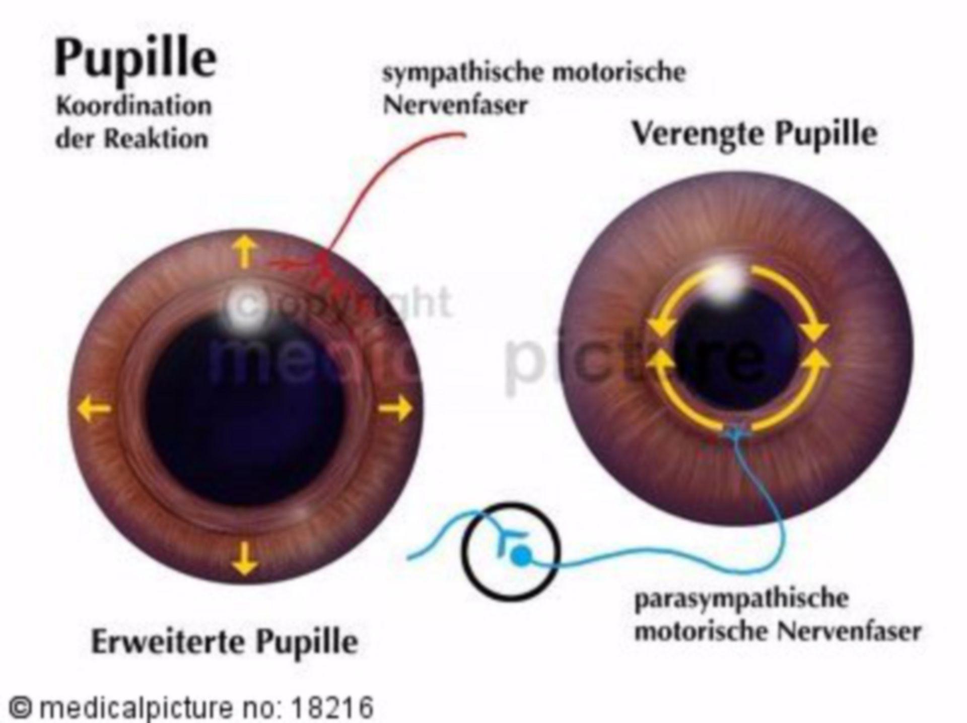 Pupil, pupil dilatation, pupil constriction