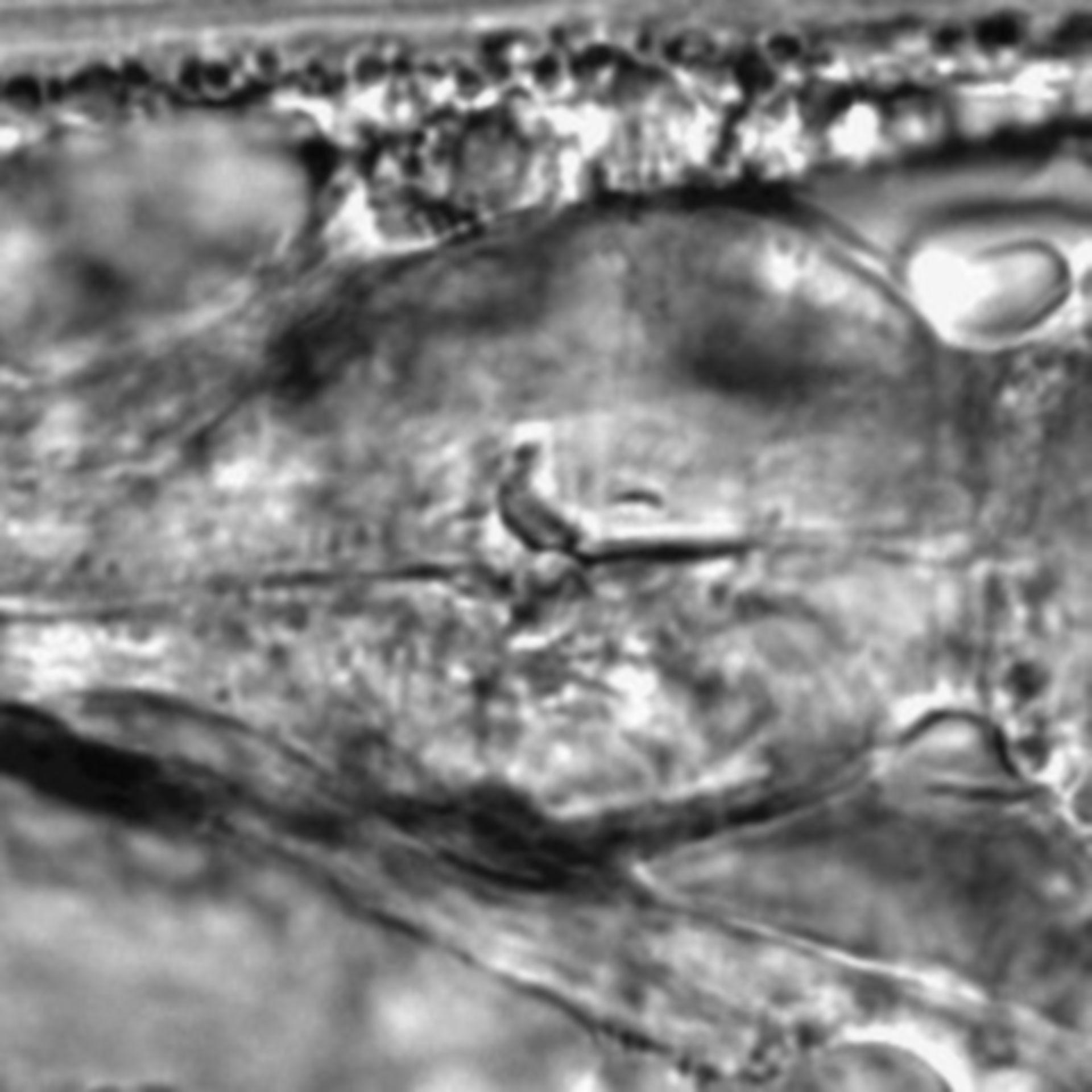 Caenorhabditis elegans - CIL:1792