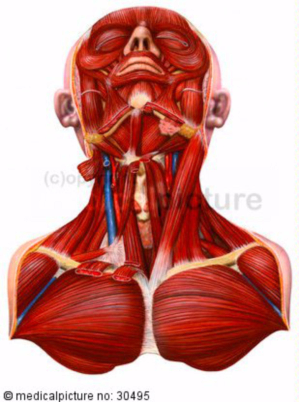 Muscoli, torace, collo, testa