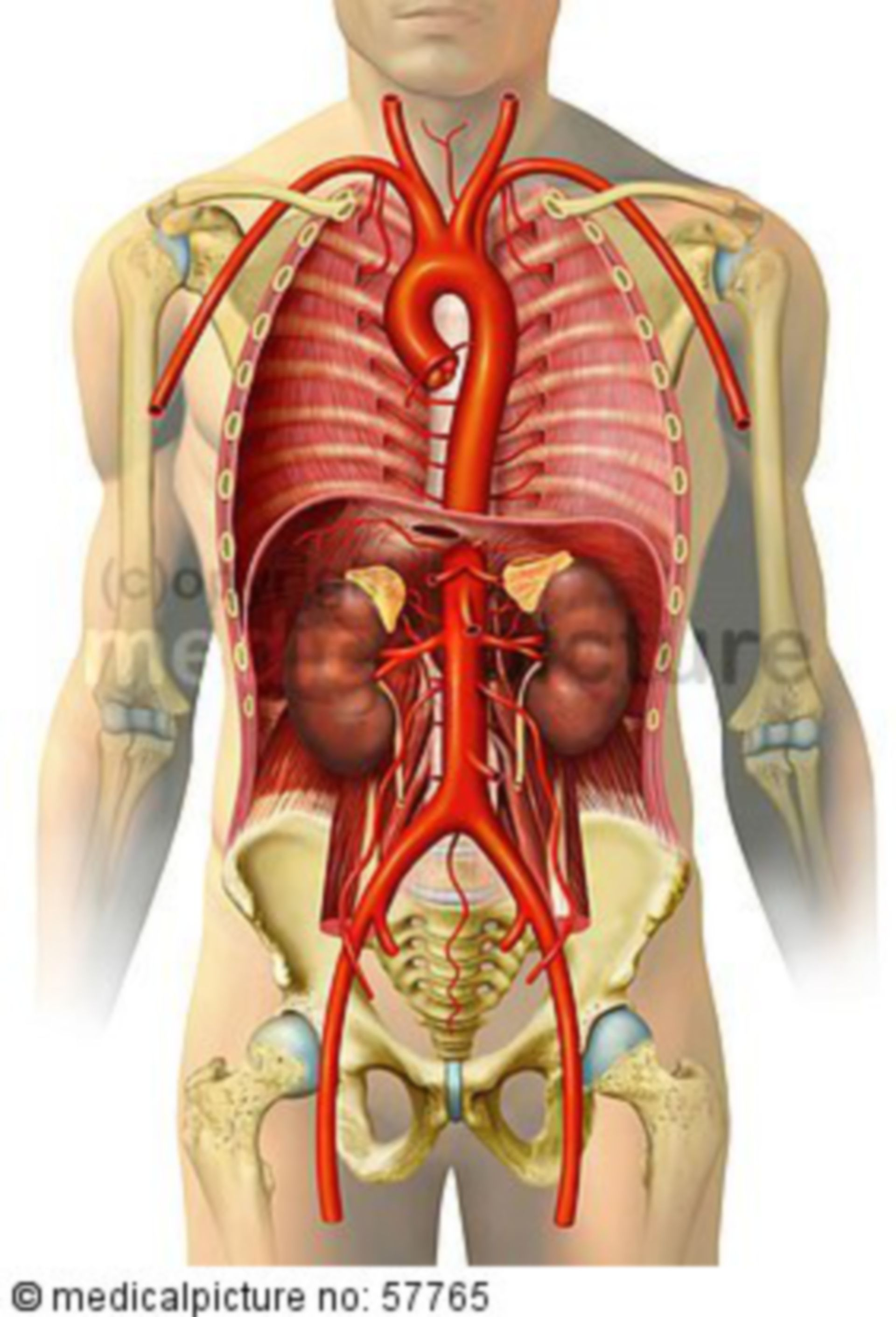Illustrazioni anatomiche - sangue arterioso