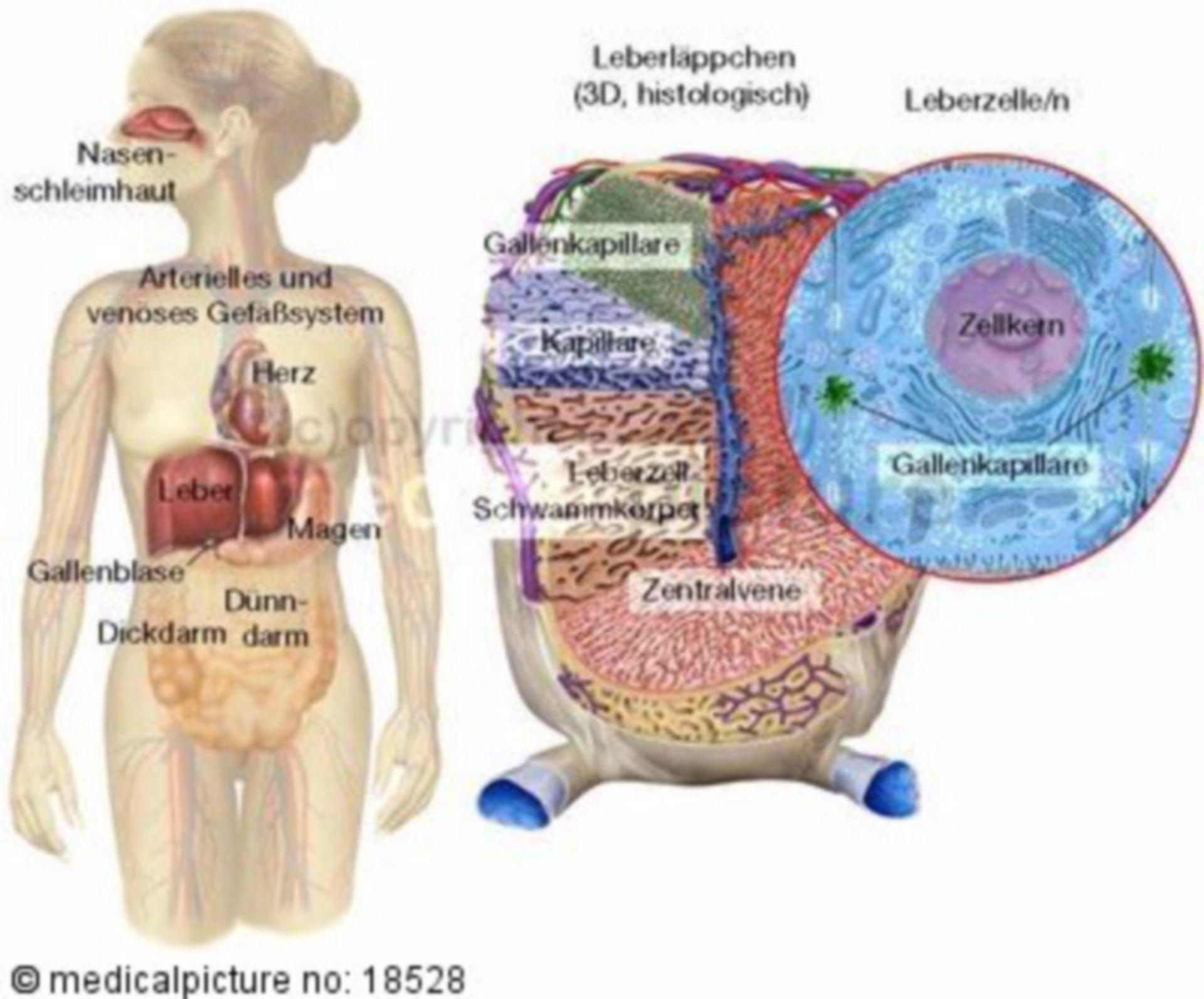 Woman and hepatic lobules
