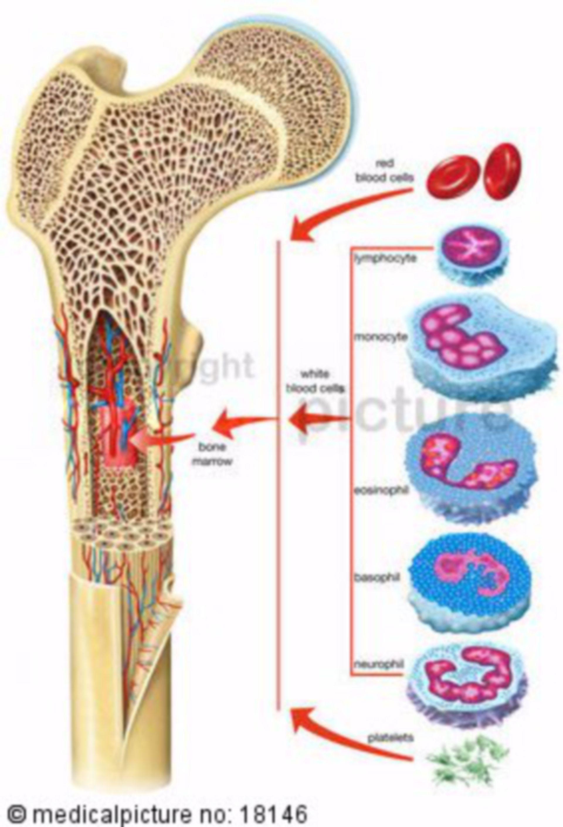 Midollo osseo