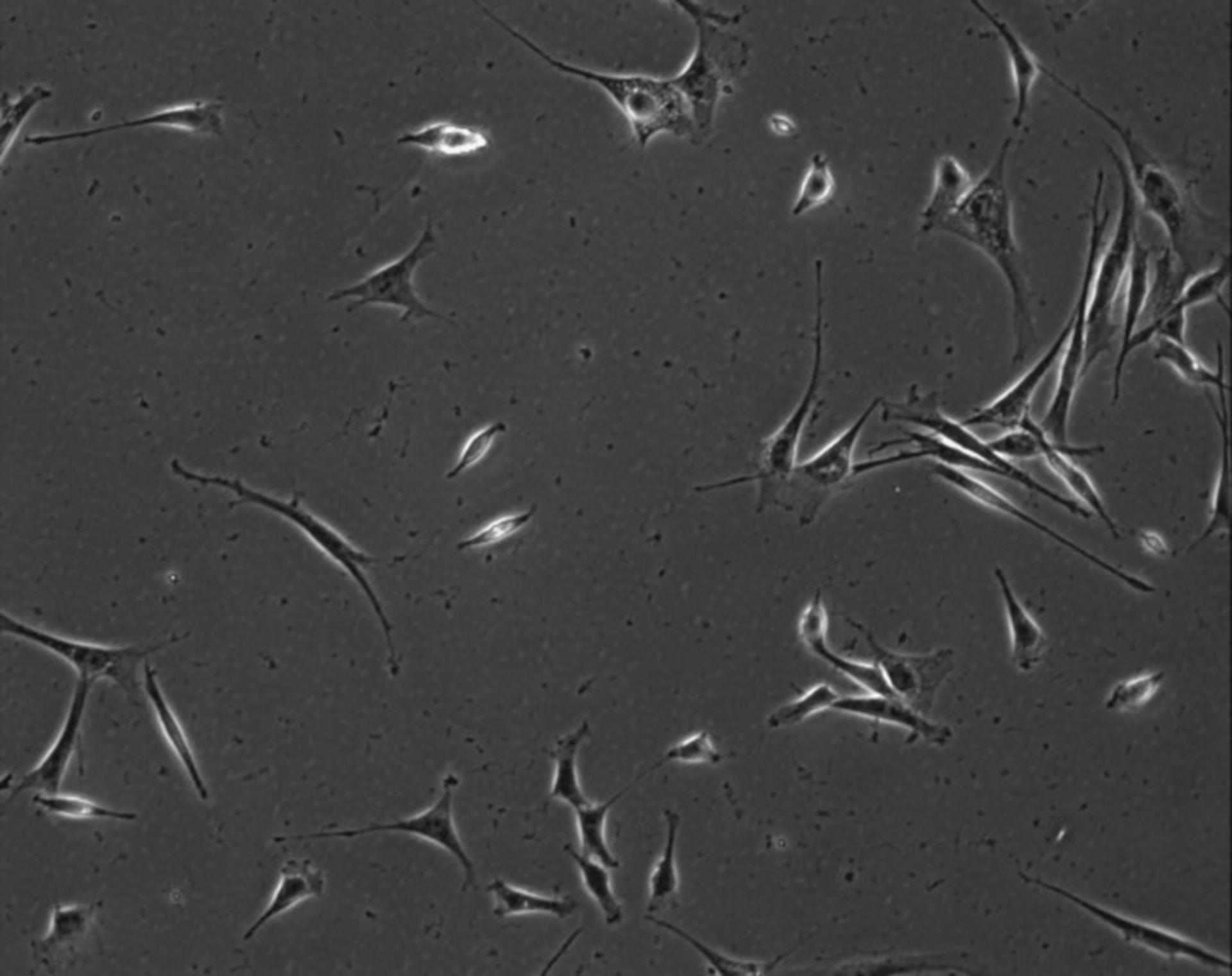 Mus musculus (Extracellular matrix part) - CIL:7883