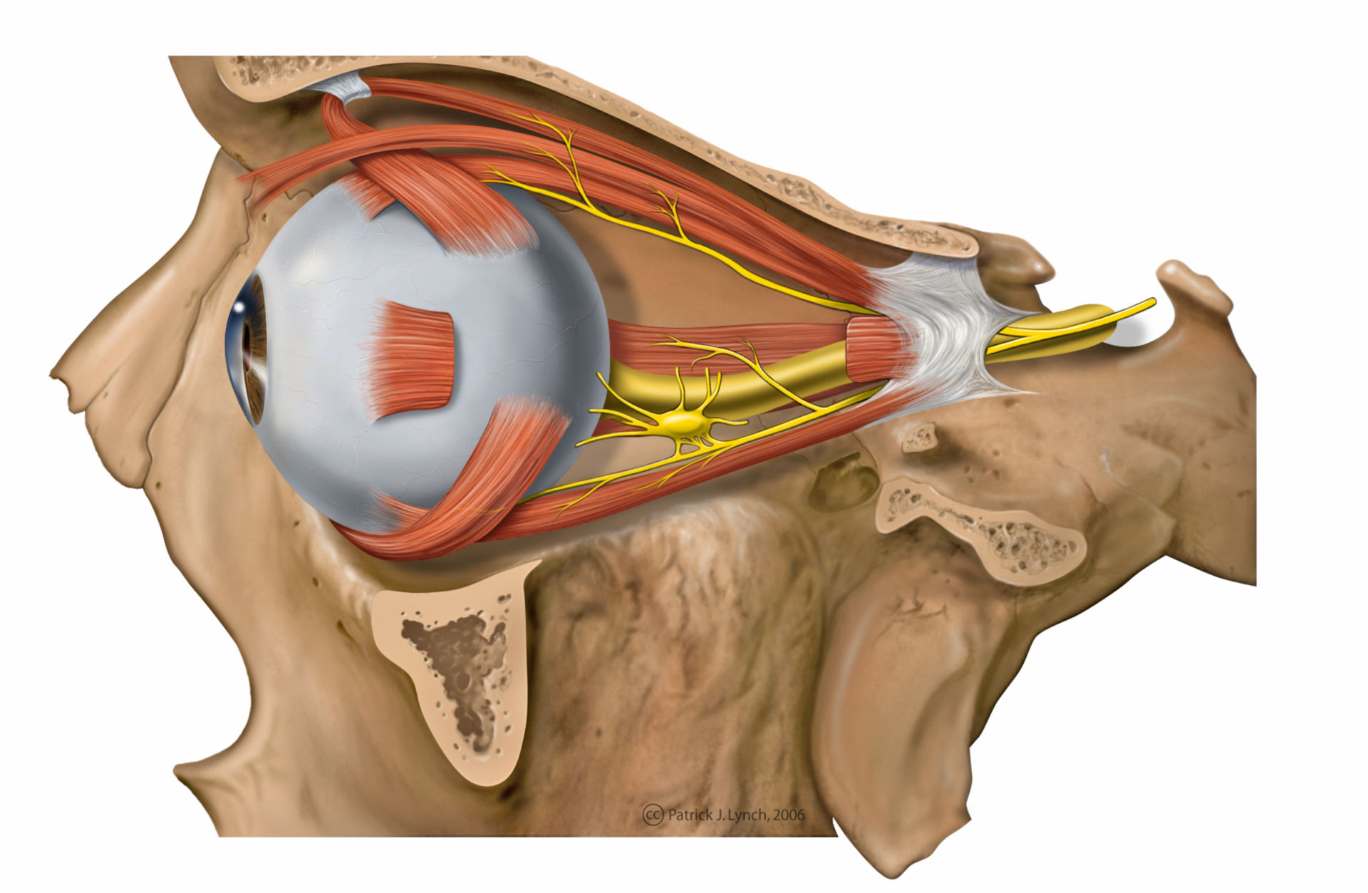 Anatomy of the eye with muscles and nerves (illustration)