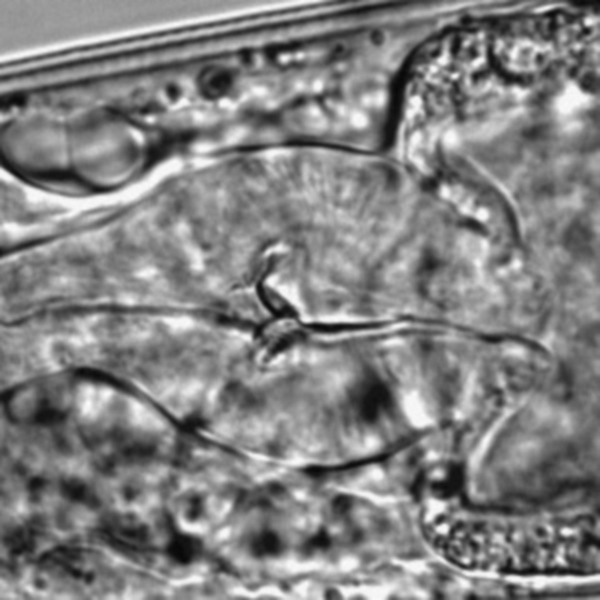 Caenorhabditis elegans - CIL:1607