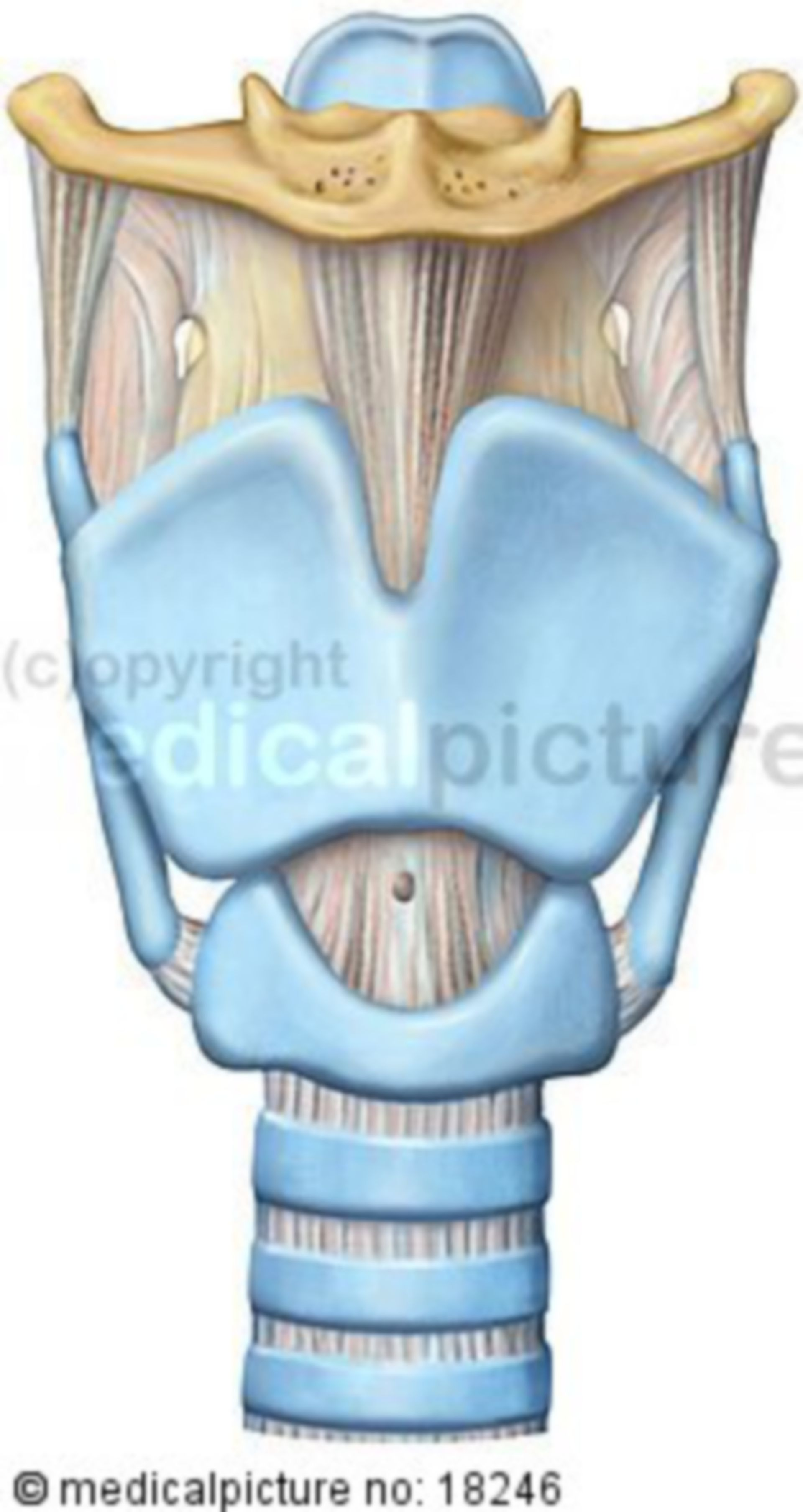 Kehlkopf, Larynx