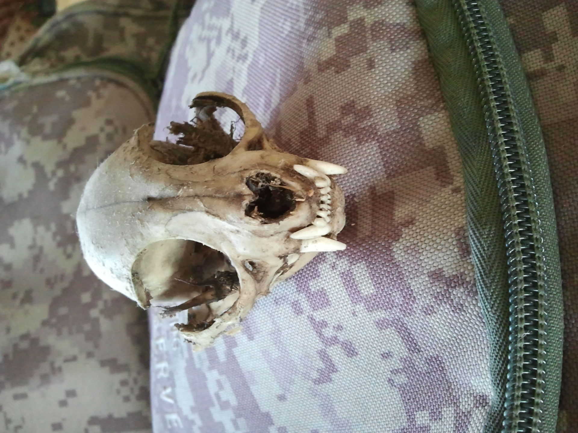 Animal skull frontally 1