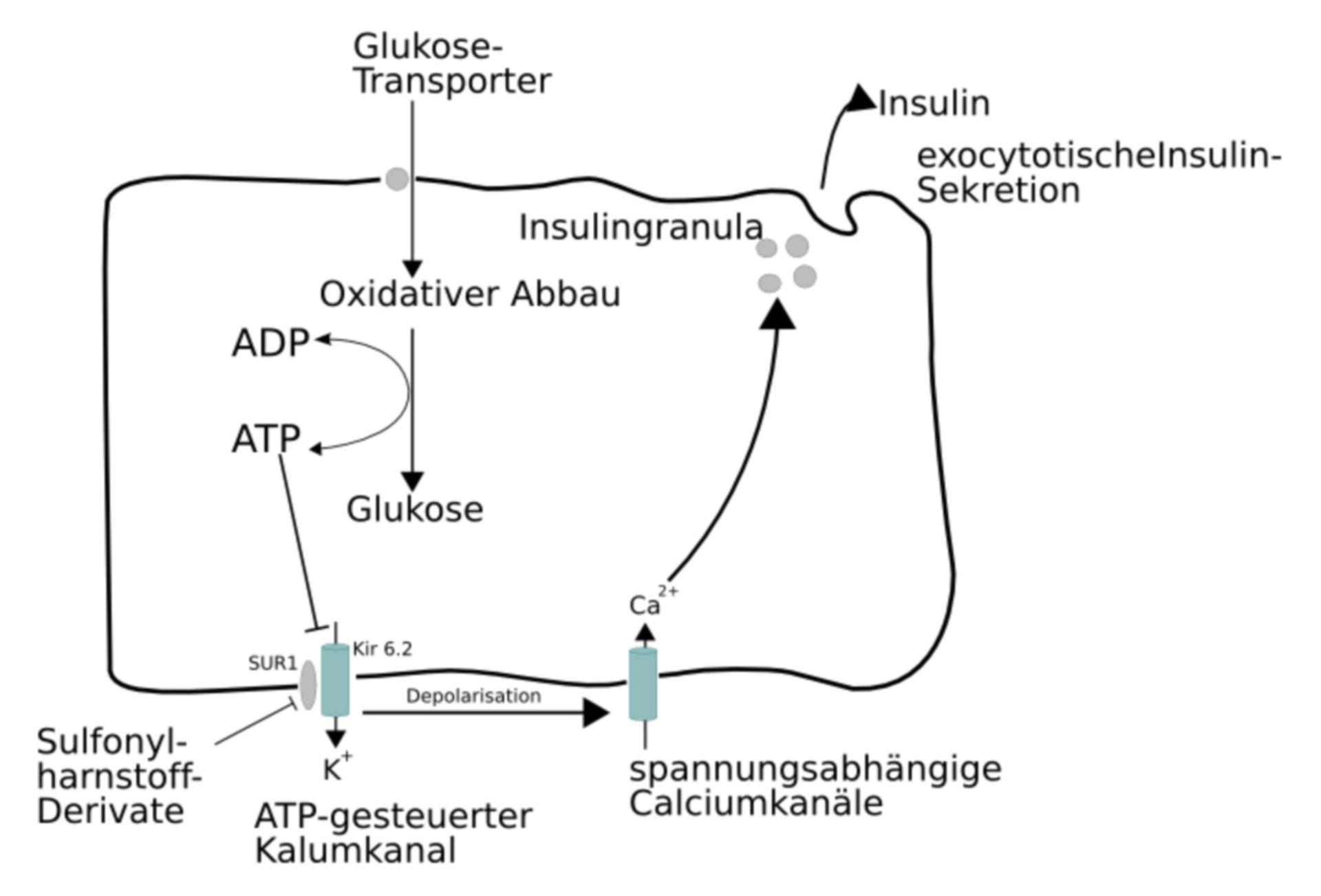 Secreción de la Insulina (Imagen)
