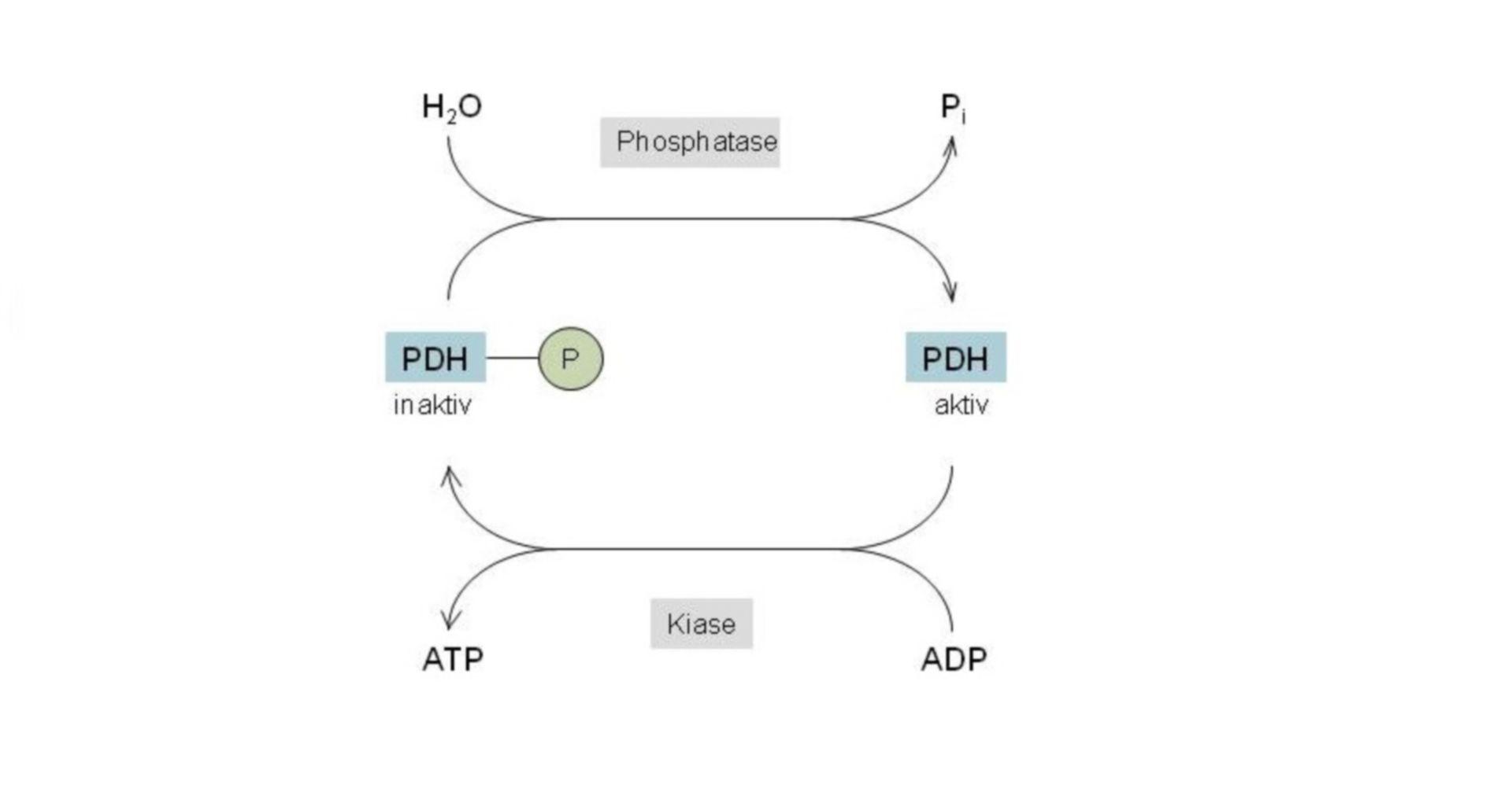 Regulación de la piruvato deshidrogenasa