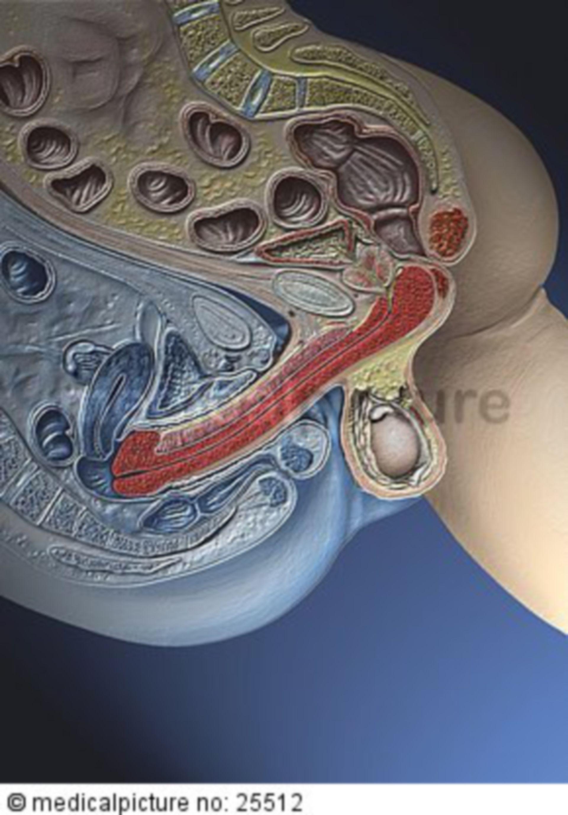 Sagittal section during intercourse (transparent)