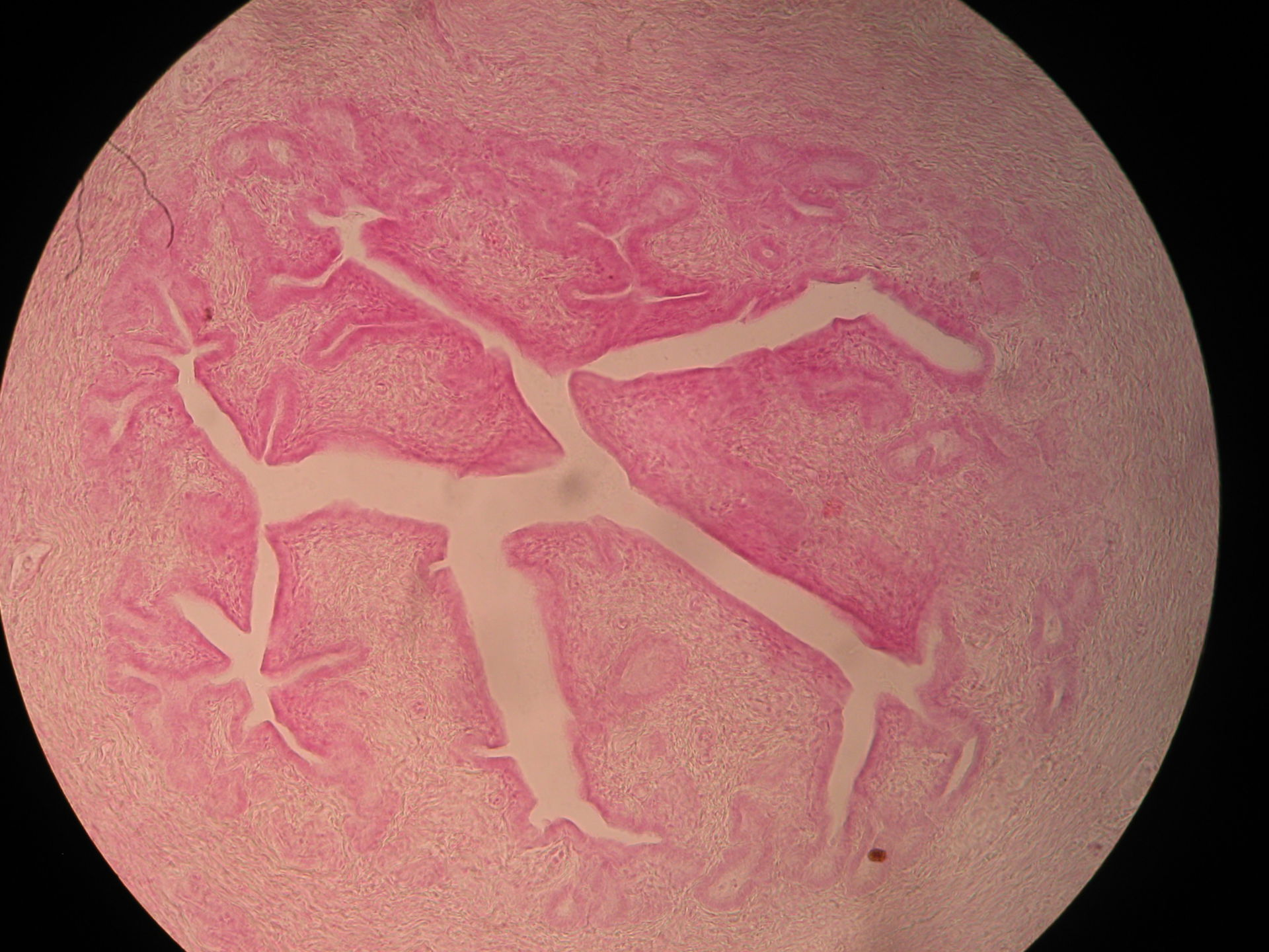 Overview of ovary (cat)