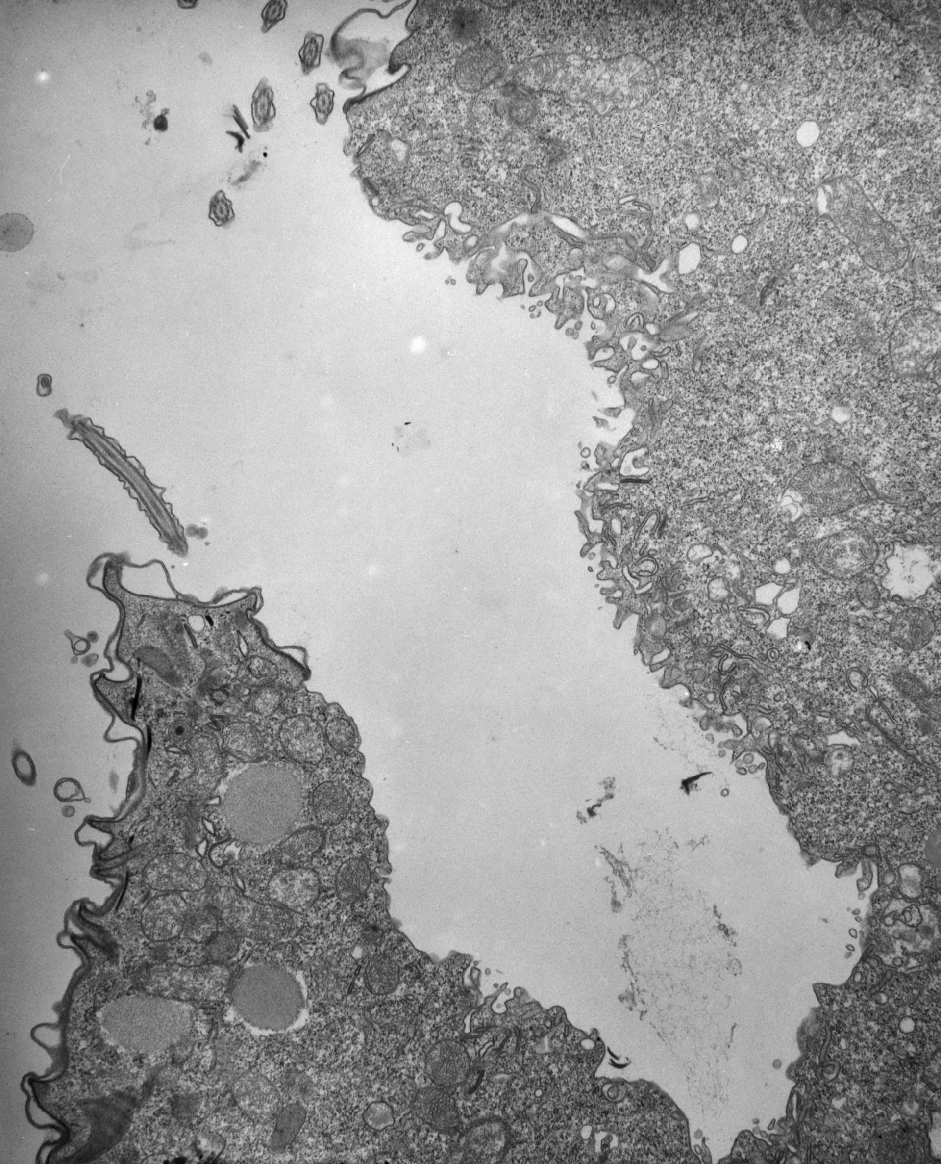 Paramecium multimicronucleatum (citoplasma) - CIL:12344